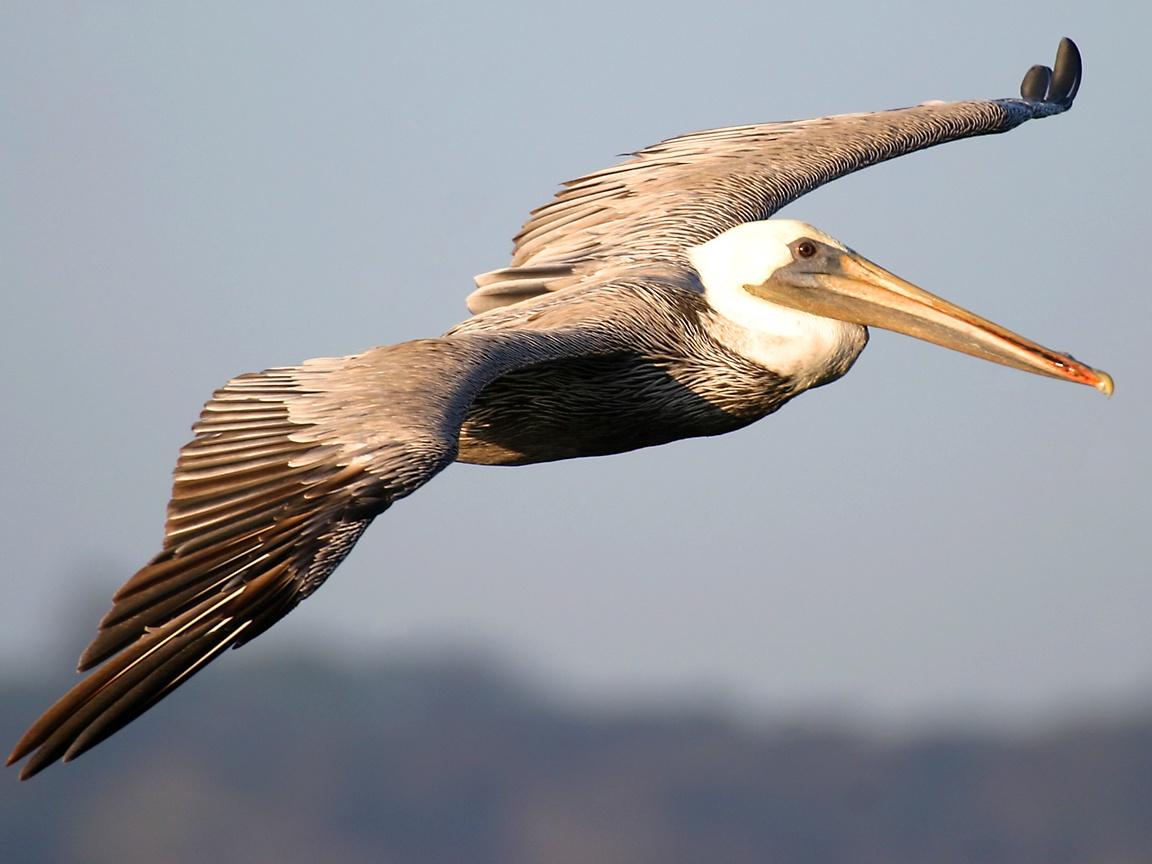 Brown Pelican Fly , HD Wallpaper & Backgrounds