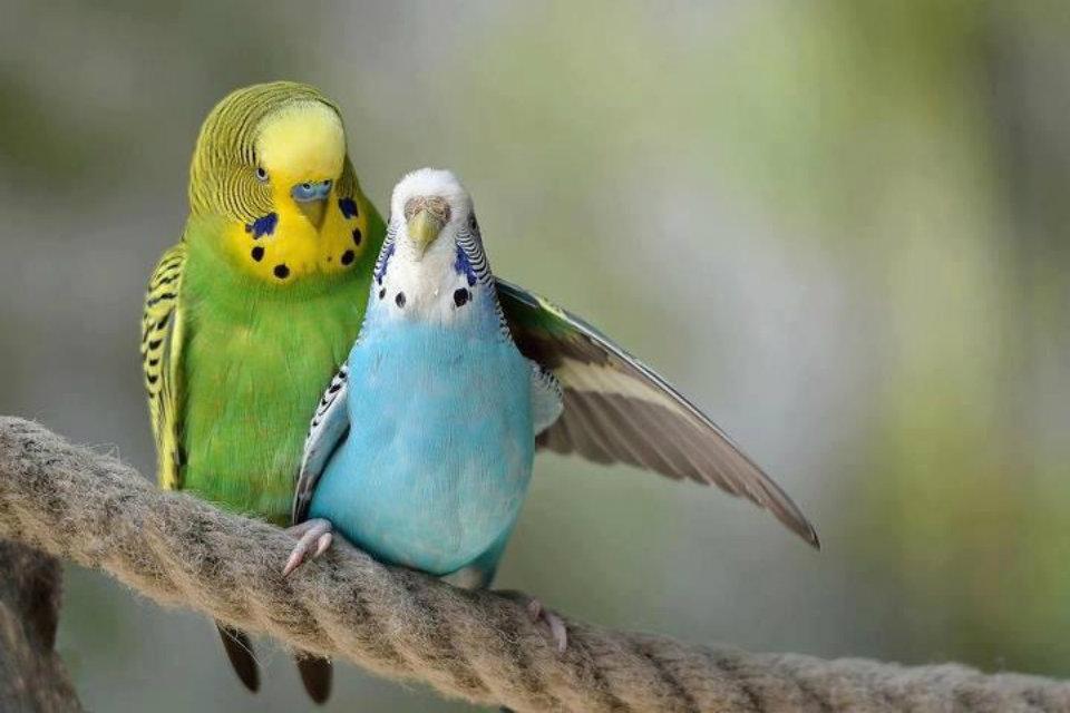 Outstanding Love Bird Wallpaper Te Love Birds Hd Wallpapers - Lovely Birds , HD Wallpaper & Backgrounds