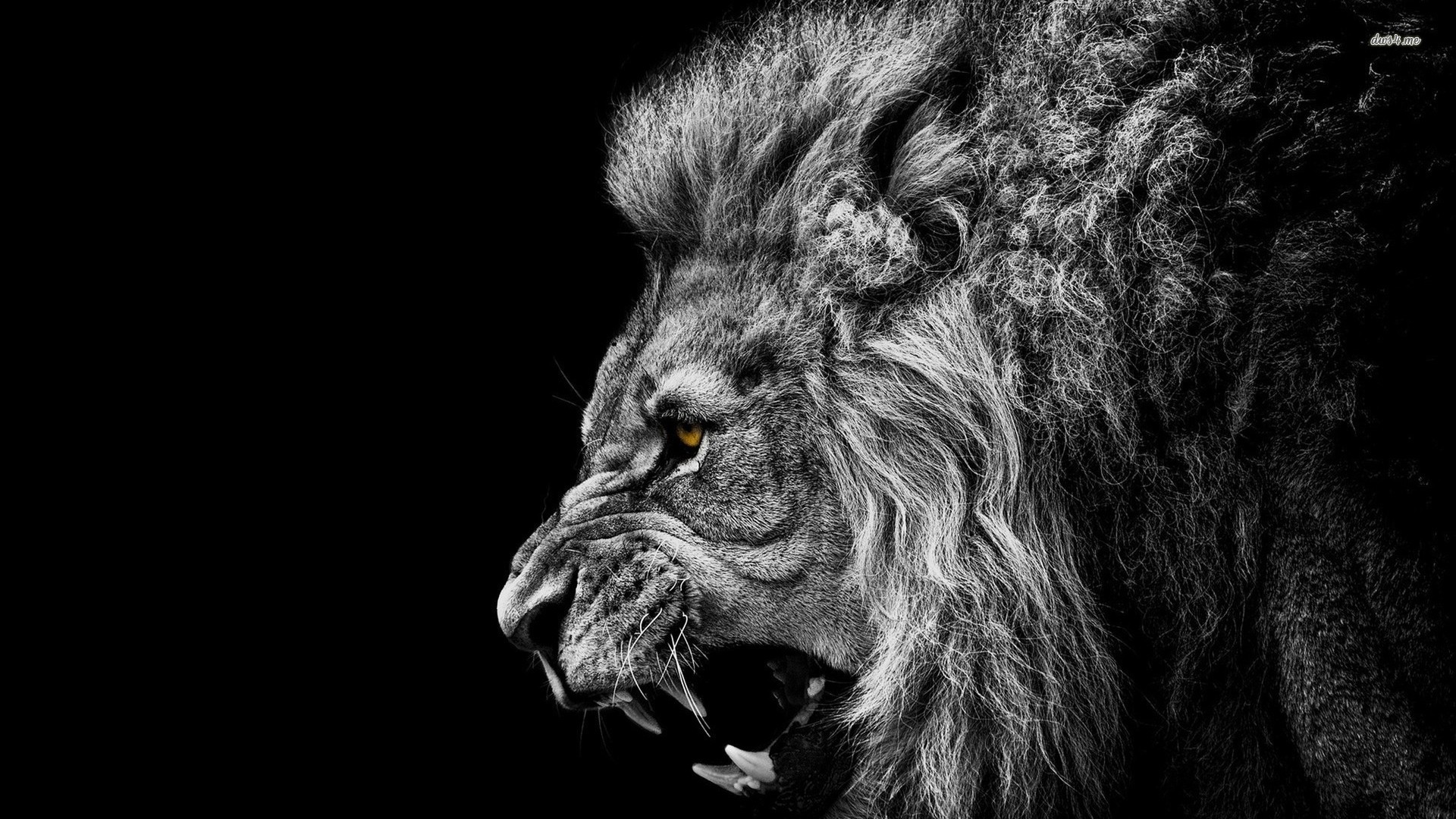 Roaring Lion Wallpaper - Roaring Lion Wallpaper Hd , HD Wallpaper & Backgrounds