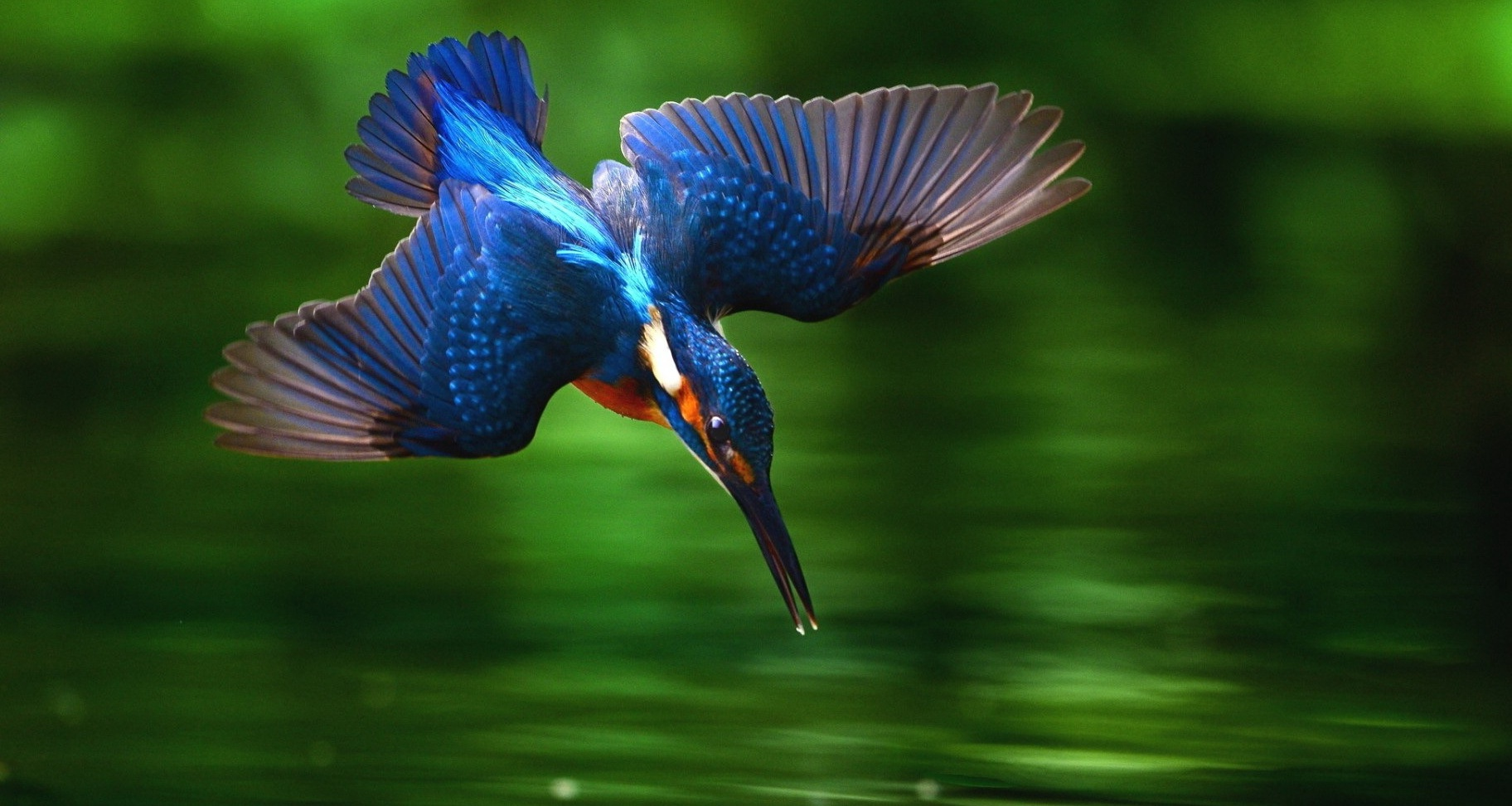 These Kingfisher Bird Diving Into Water 1428756 Hd Wallpaper Backgrounds Download