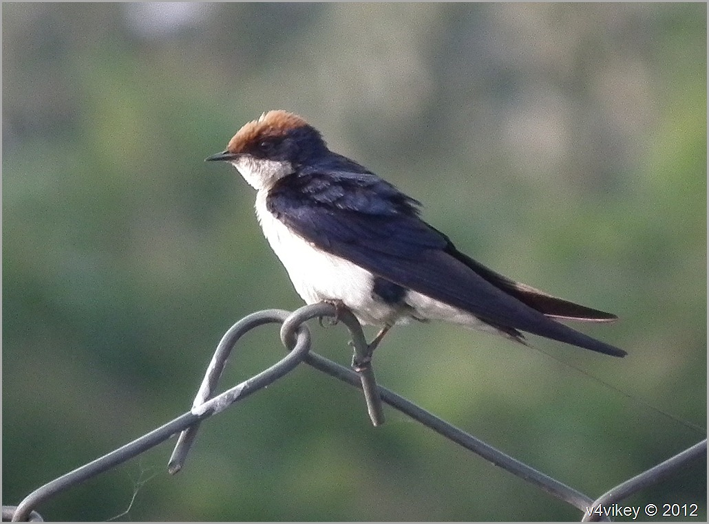 Wire Tailed Swallow Little And Beautiful Bird Wallpapers - Swallow Beautiful Bird , HD Wallpaper & Backgrounds