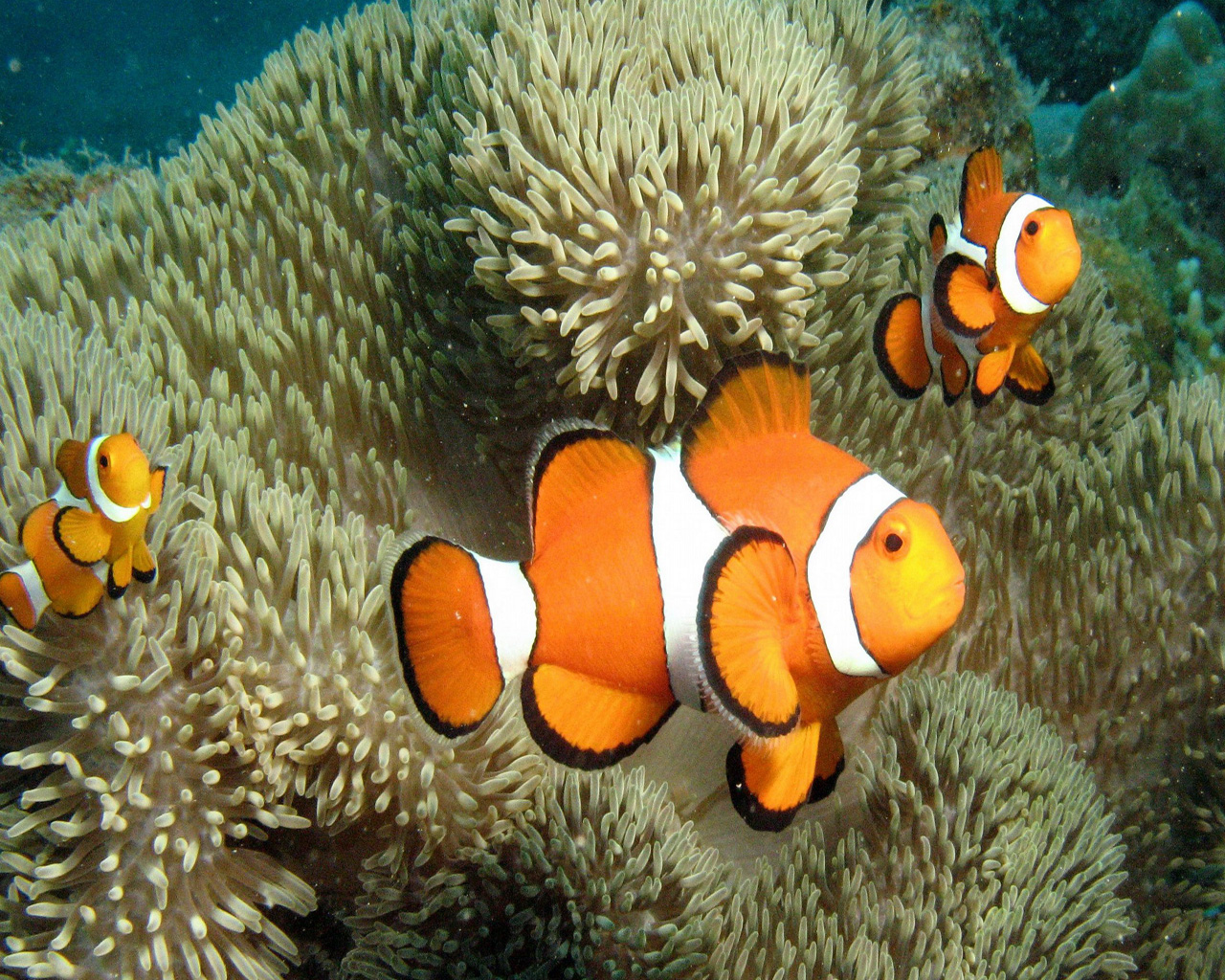 Clown Fish Wallpaper Clown Fish 1488358 Hd Wallpaper