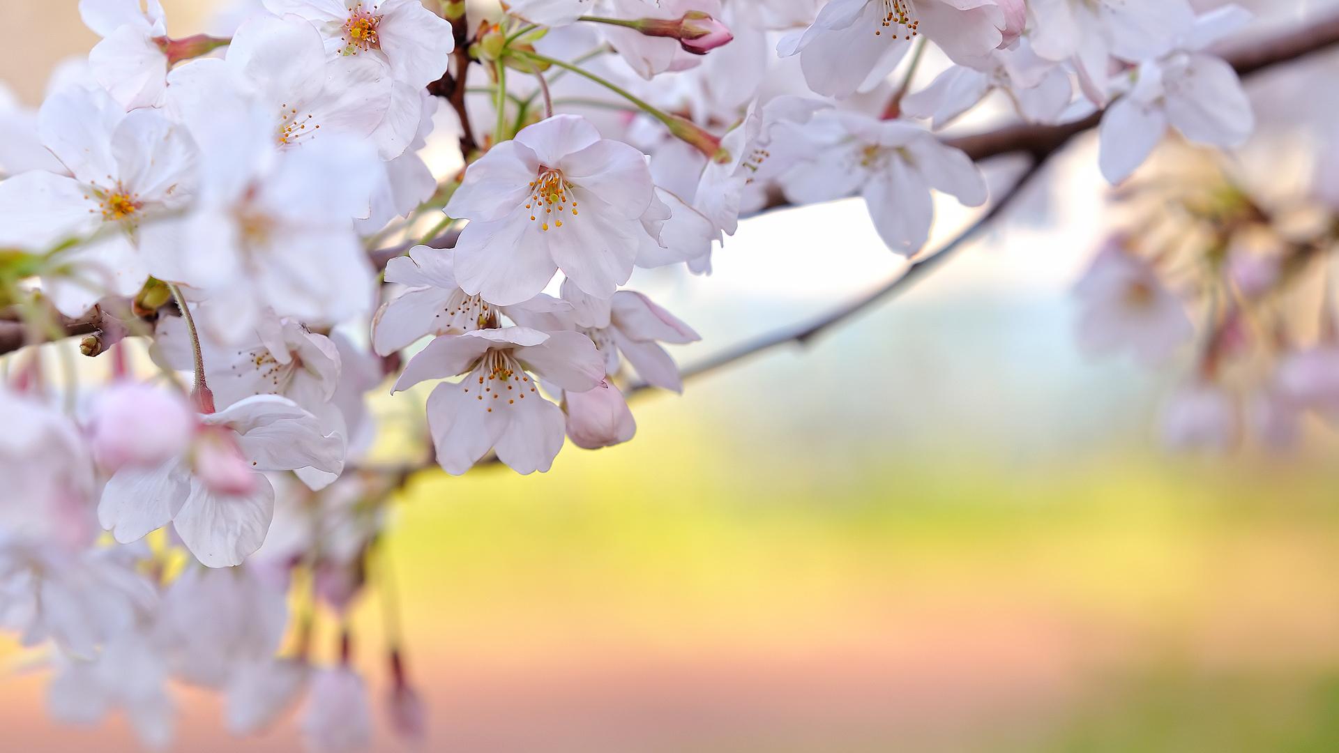 Spring Wallpaper Hd Resolution For Desktop Wallpaper - Desktop Wallpaper Flowers Hd , HD Wallpaper & Backgrounds