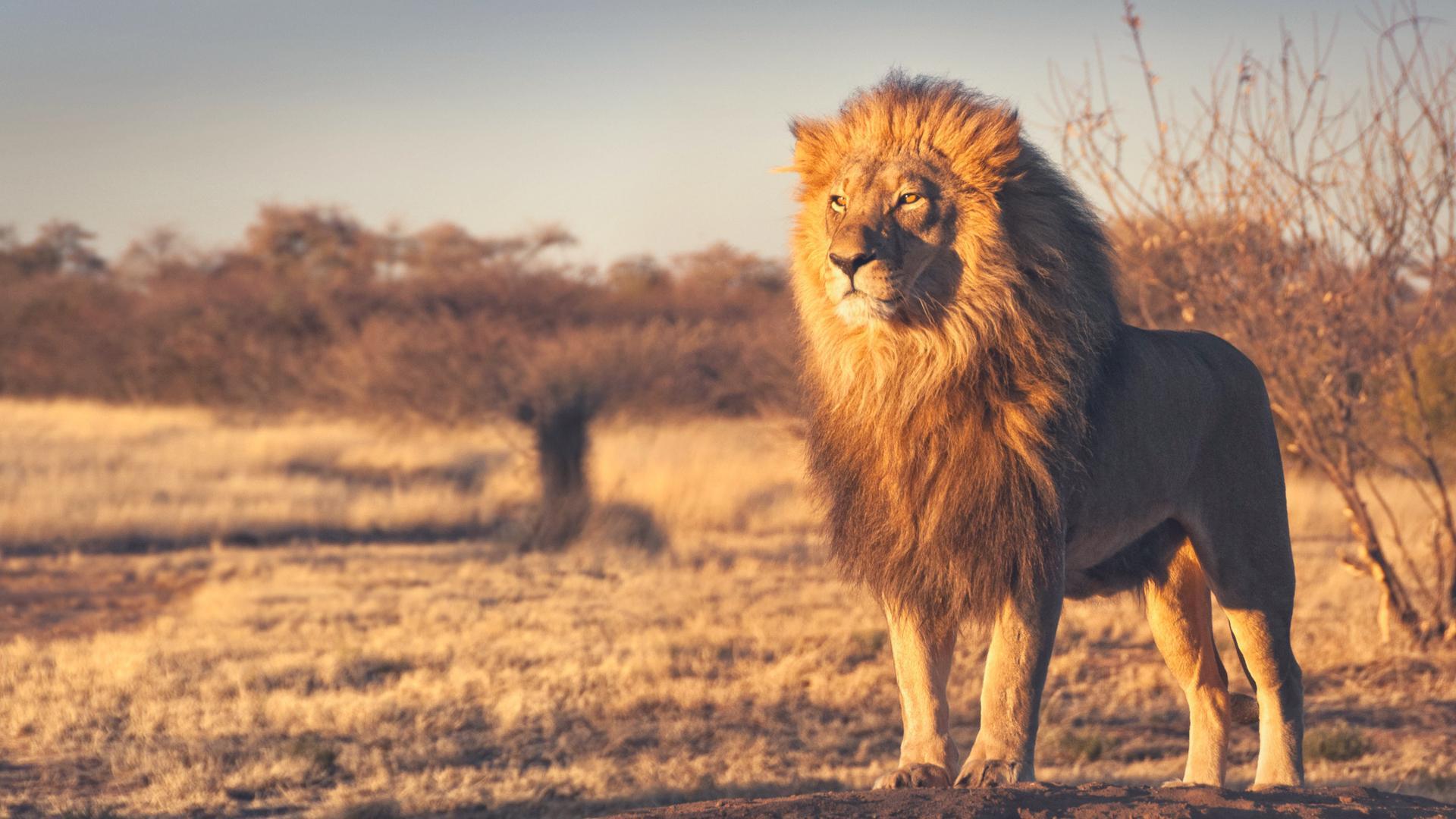 Lion 1080p Lion Background Hd 155530 Hd Wallpaper