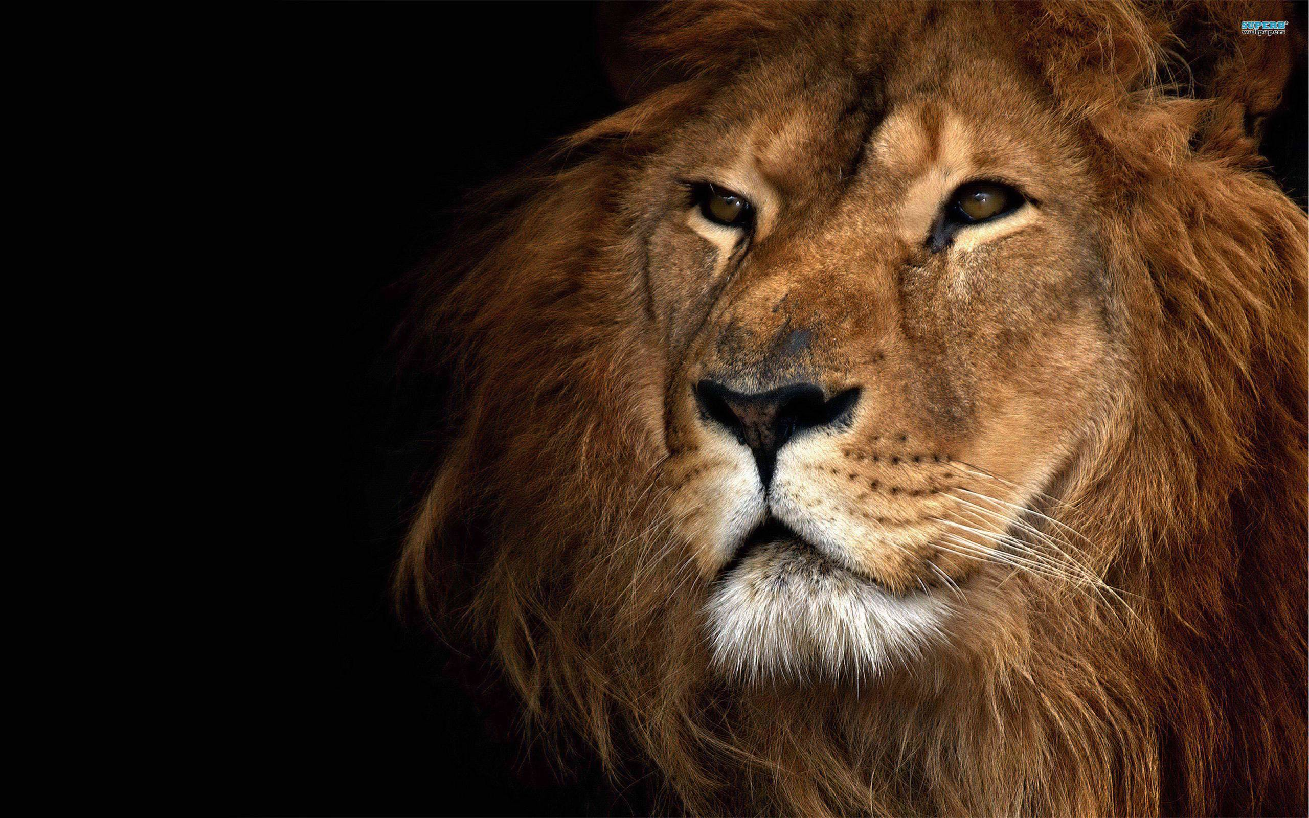 Lion Wallpaper Download Free - Lion King Of Animals , HD Wallpaper & Backgrounds