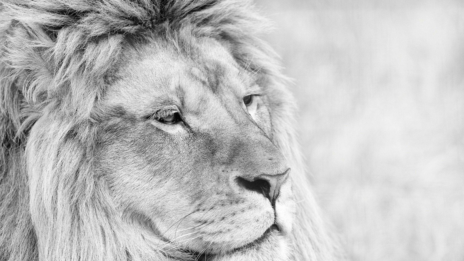 Lion Wallpaper 4k - White Lion Wallpaper 4k , HD Wallpaper & Backgrounds