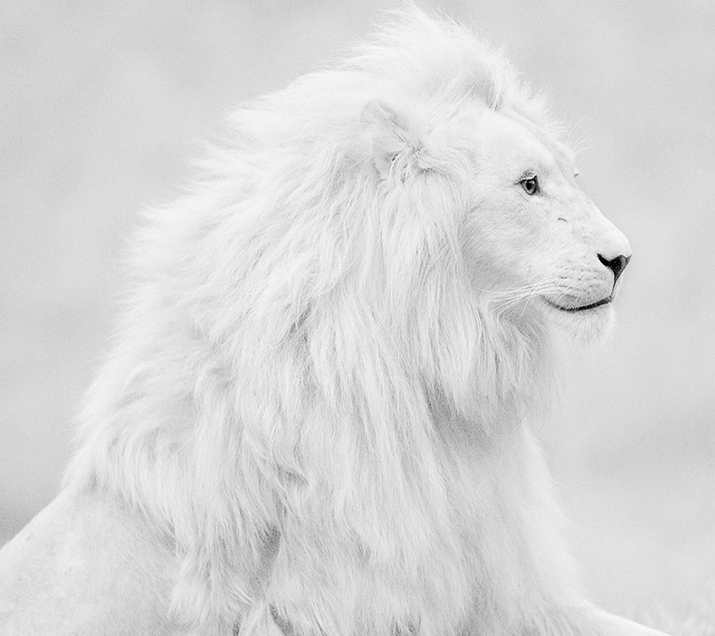 Lion - White Lion Wallpapers For Iphone , HD Wallpaper & Backgrounds