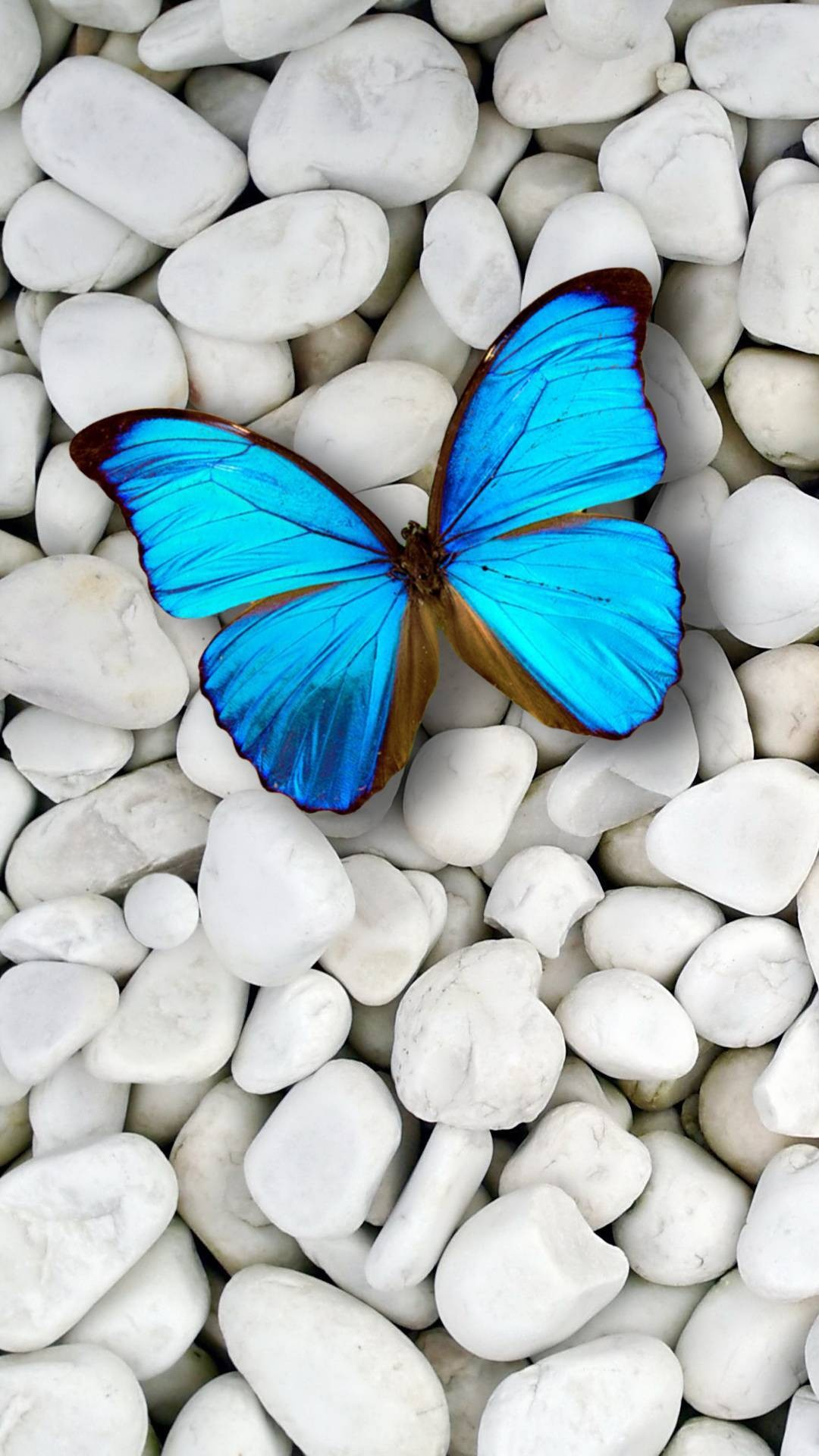 Blue Butterfly Wallpaper For Iphone Resolution Blue Butterfly On Rocks 158629 Hd Wallpaper Backgrounds Download