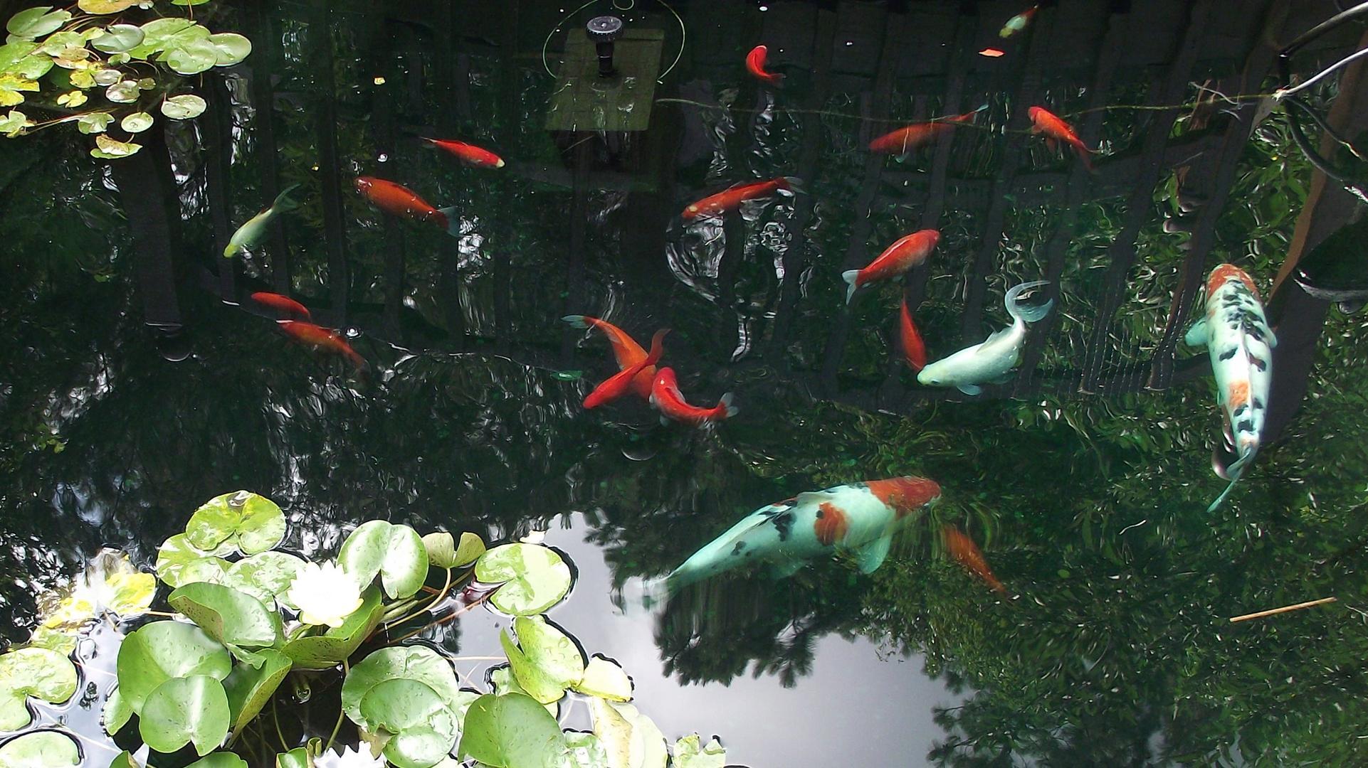 Koi Fish Pond Wallpaper Hd - Fish Pond , HD Wallpaper & Backgrounds