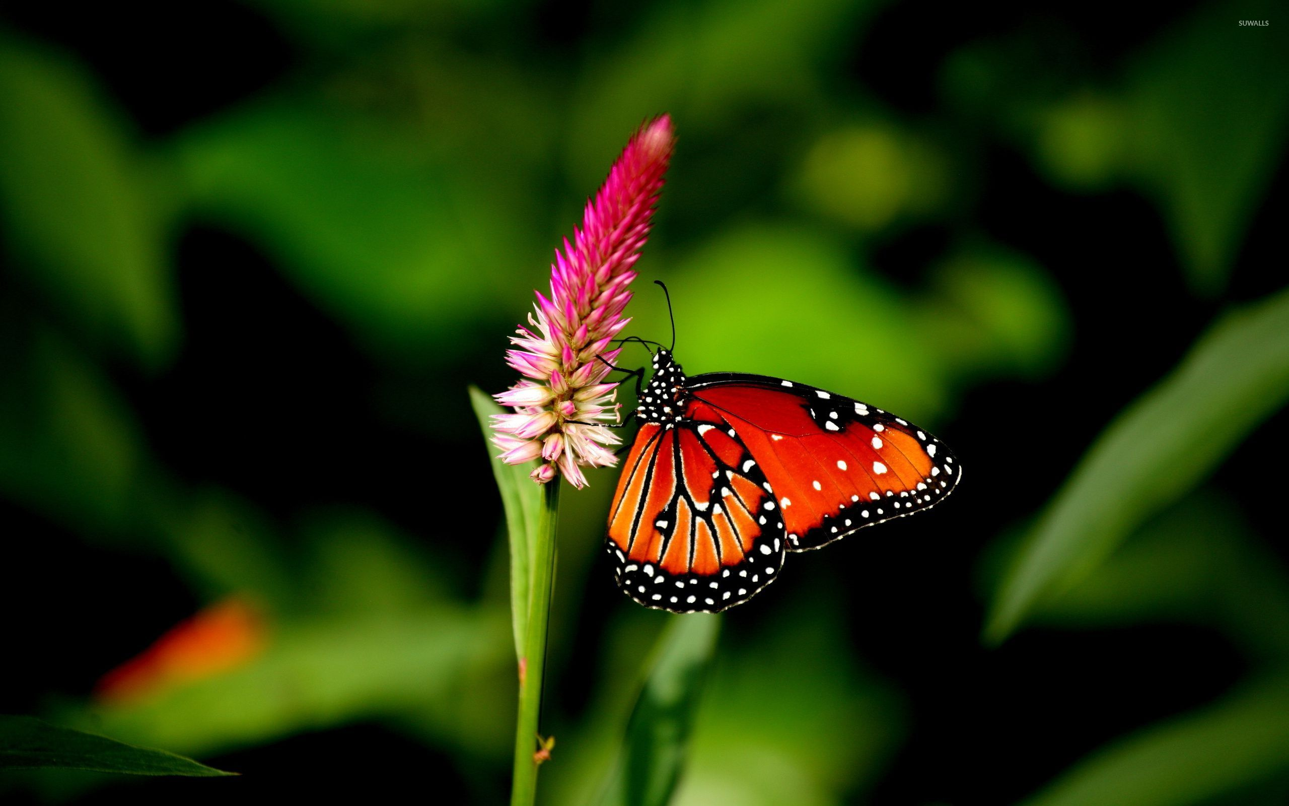 Orange Butterfly [2] Wallpaper - Pink And Orange Butterfly , HD Wallpaper & Backgrounds