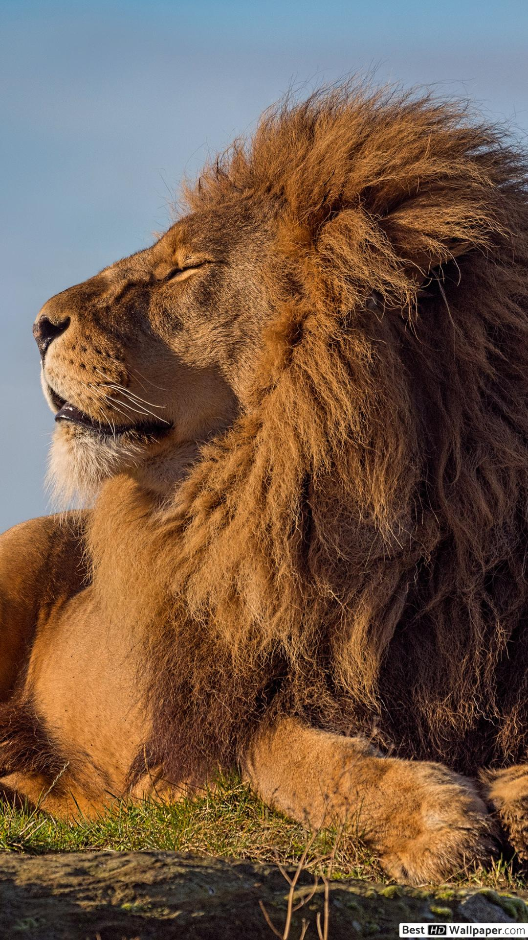 Apple Iphone 7 Plus, - Lion King Of The Jungle , HD Wallpaper & Backgrounds