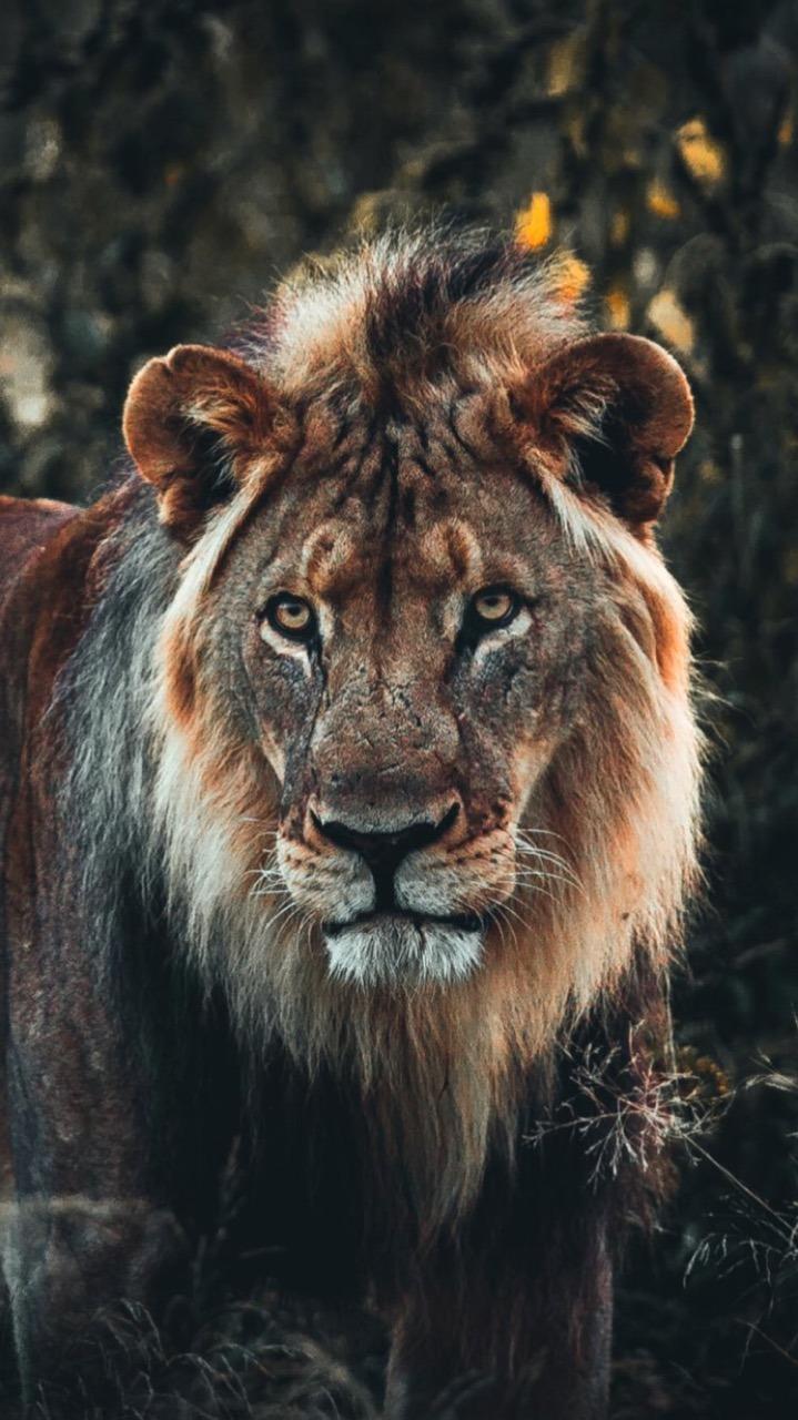 Lion The Lion King Lionheart Big Cat Cat Summer Wallpaper - Masai Lion , HD Wallpaper & Backgrounds