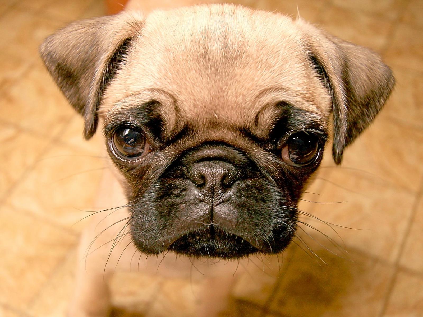 Fond D Ecran Chien Triste Full Breed Pug Puppy 1556857 Hd Wallpaper Backgrounds Download