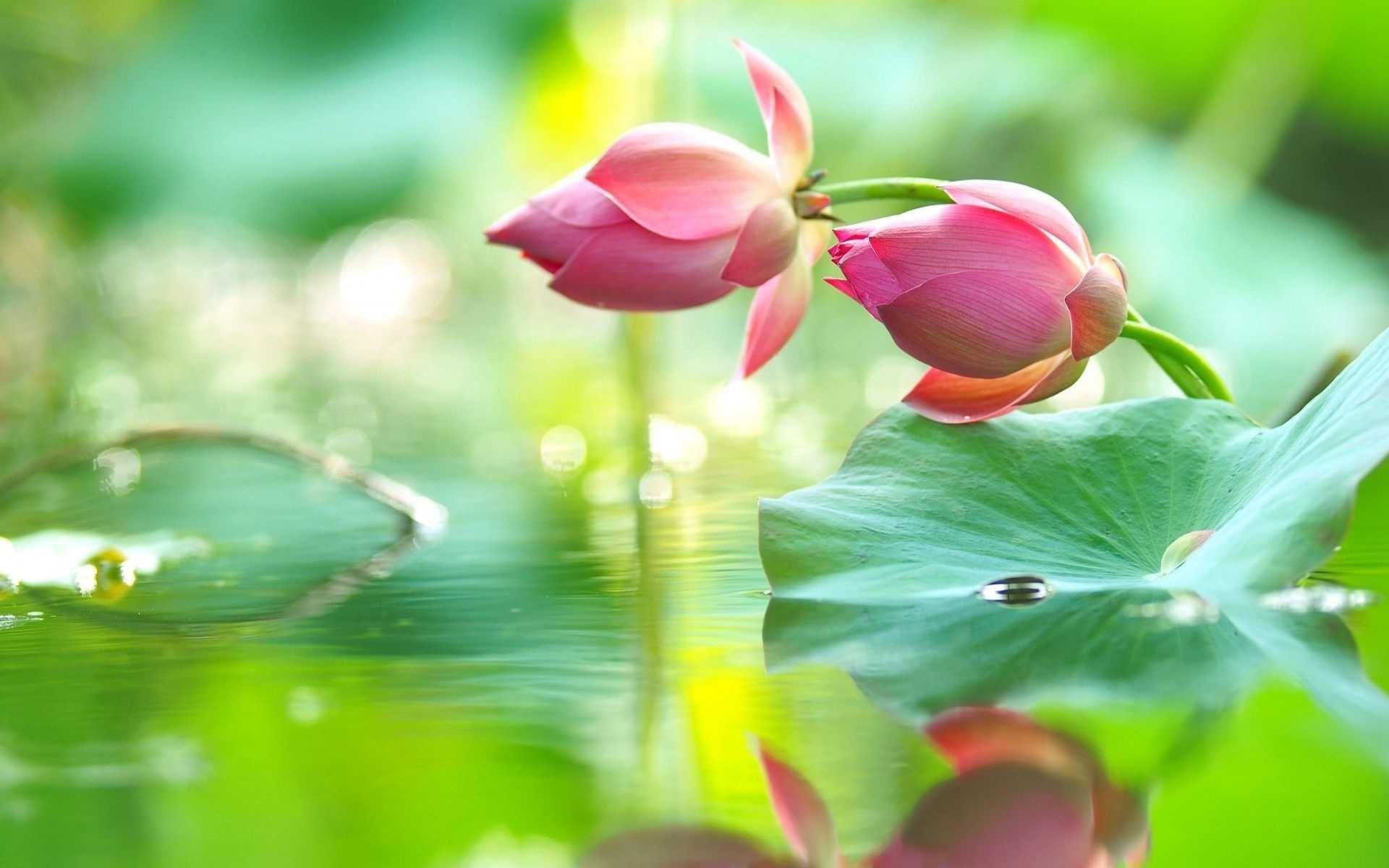 Pink Lotus Flower With Water Drop Iphone Hd Wallpapers - Hoa Sen , HD Wallpaper & Backgrounds