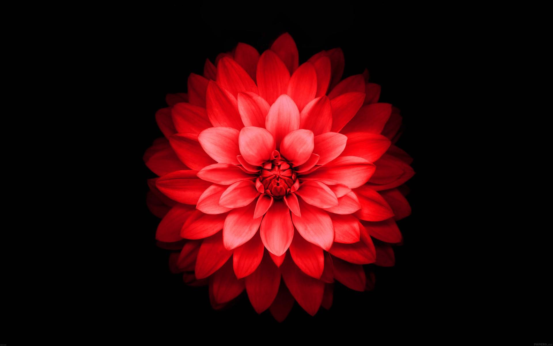 Iphone 6 Plus Red Lotus Flower Retina Wallpaper - Iphone Red Flower Wallpaper Hd , HD Wallpaper & Backgrounds