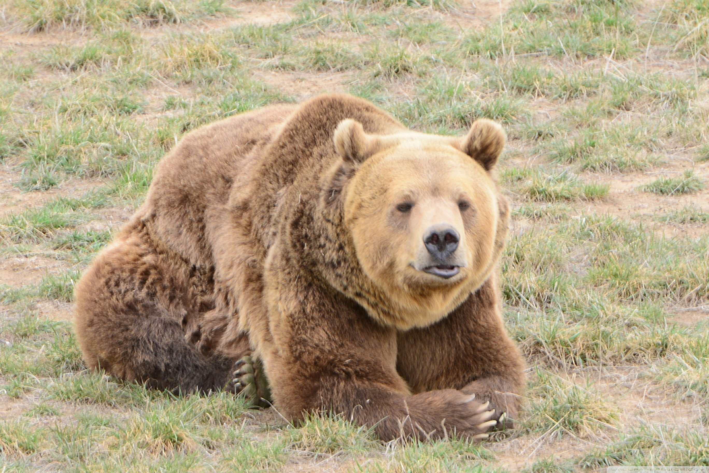 Grizzly Wallpapers - 1680 X 1050 Bear , HD Wallpaper & Backgrounds