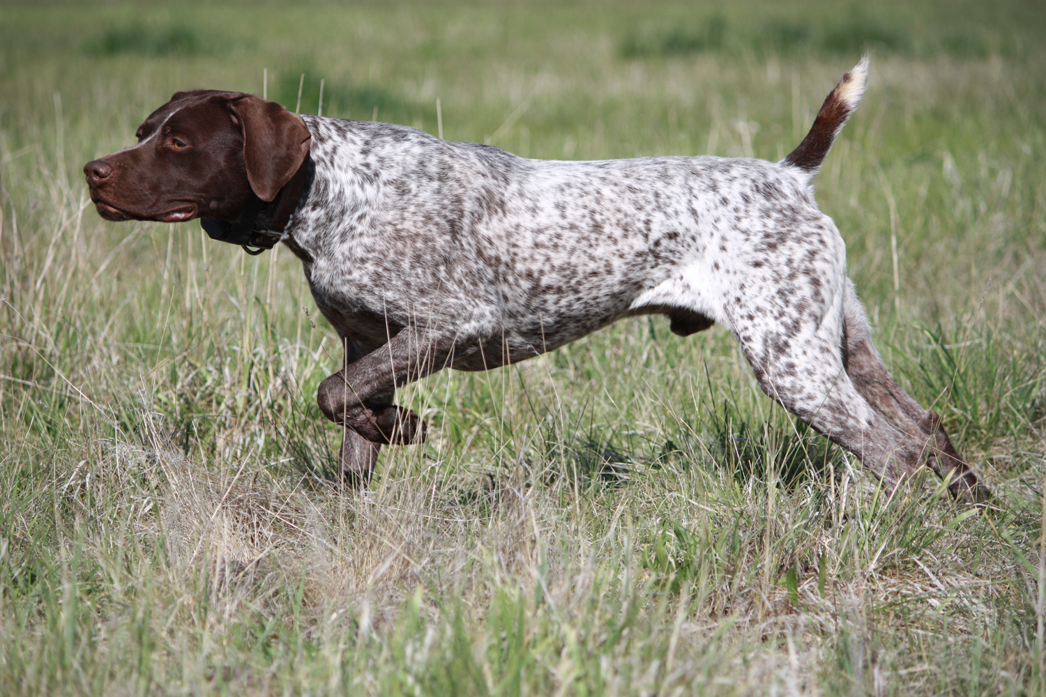 Watching German Shorthaired Pointer Dog Wallpaper - Hunting Dogs ...
