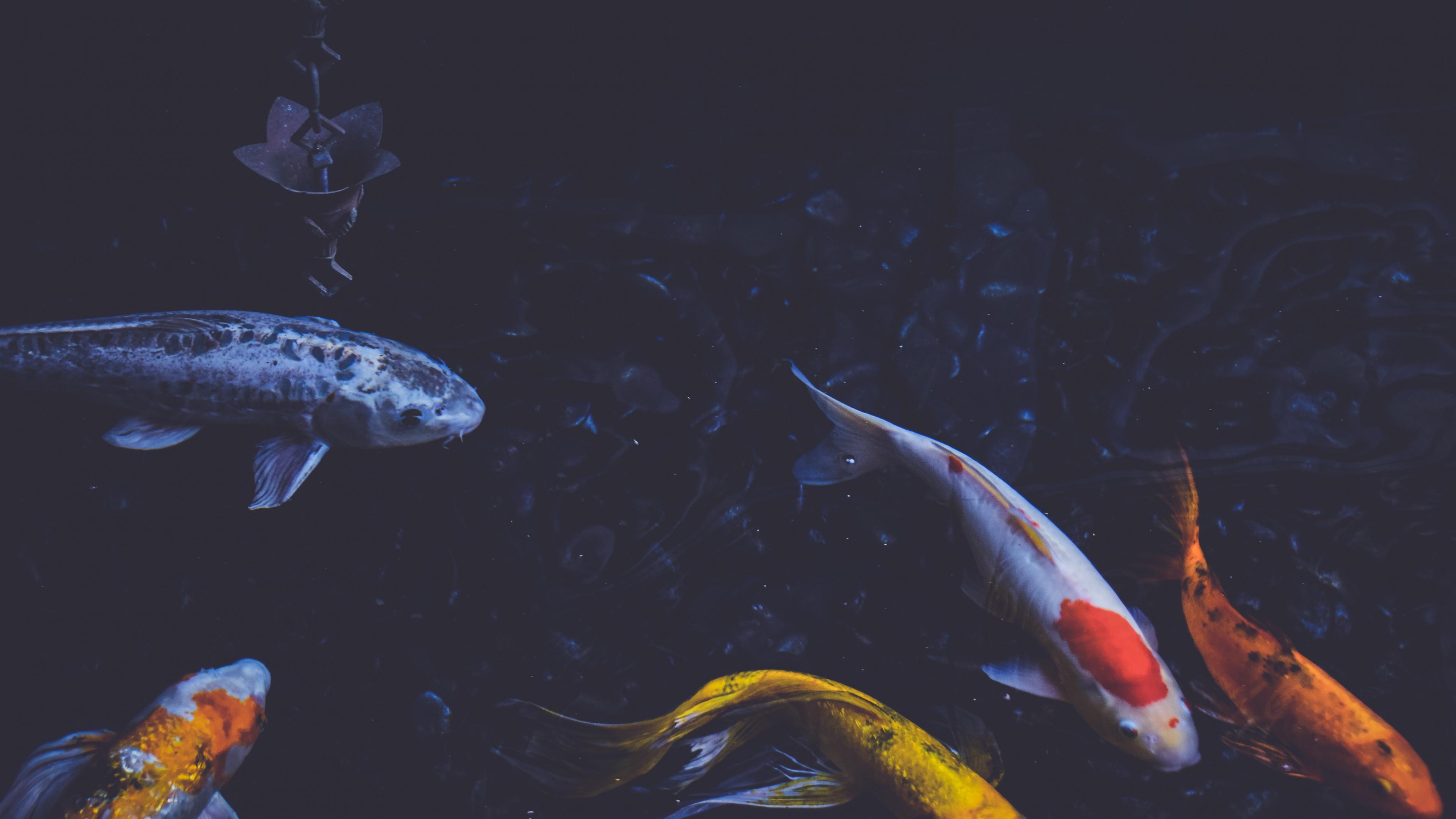 Underwater, Water, Carp, Fish Pond, Koi Hd Wallpaper, - Koi Fish , HD Wallpaper & Backgrounds