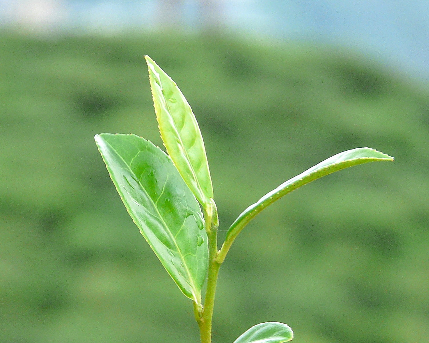 Shallow Focus Photography Of Green Leaves Plant Darjeeling