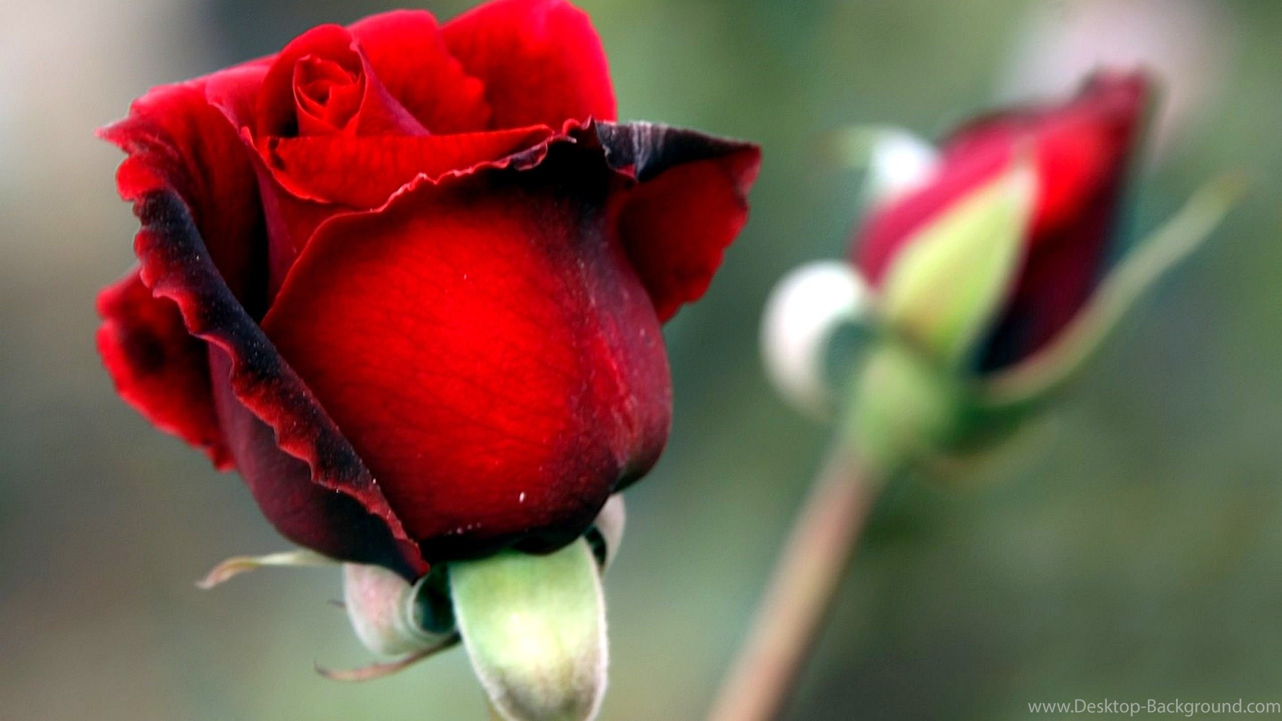 Rose Flower Wallpaper For Android Phone Flowers Healthy - Butterfly On A Bud Rose , HD Wallpaper & Backgrounds