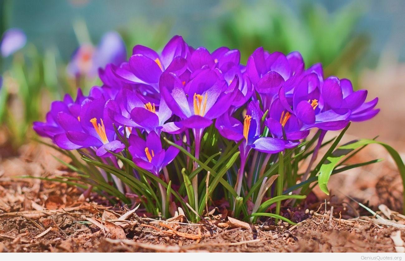 Crocus Flowers Wallpaper Hd Desktop Hintergrund Frühling