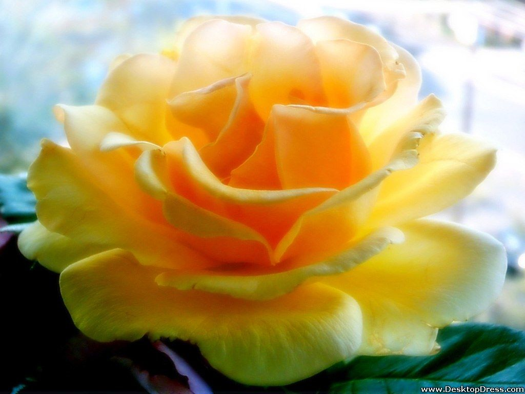 Natural Rose Flowers Wallpapers - Beautiful Big Yellow Flower , HD Wallpaper & Backgrounds