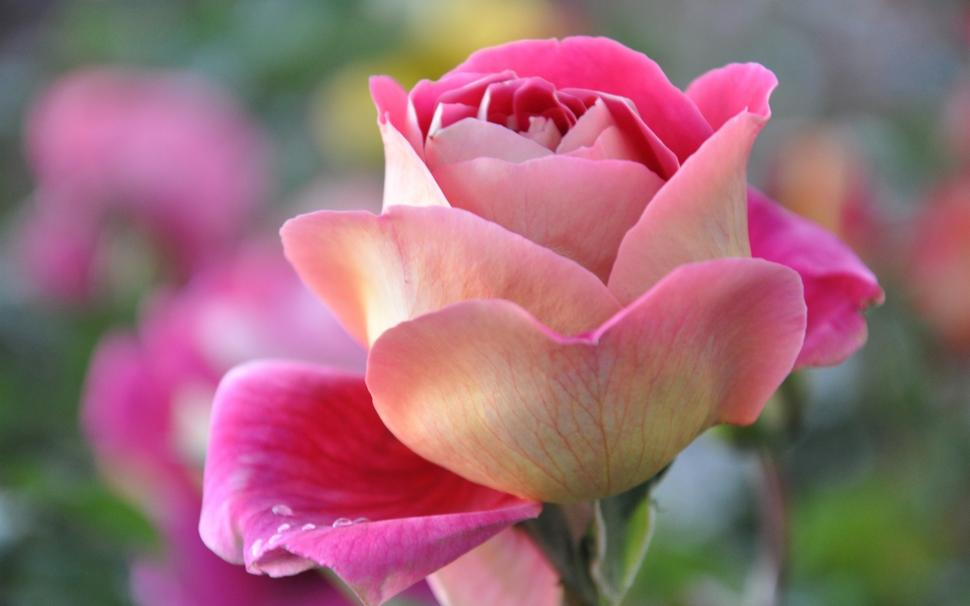 Free Flower Wallpaper And Screensavers Most Beautiful ...