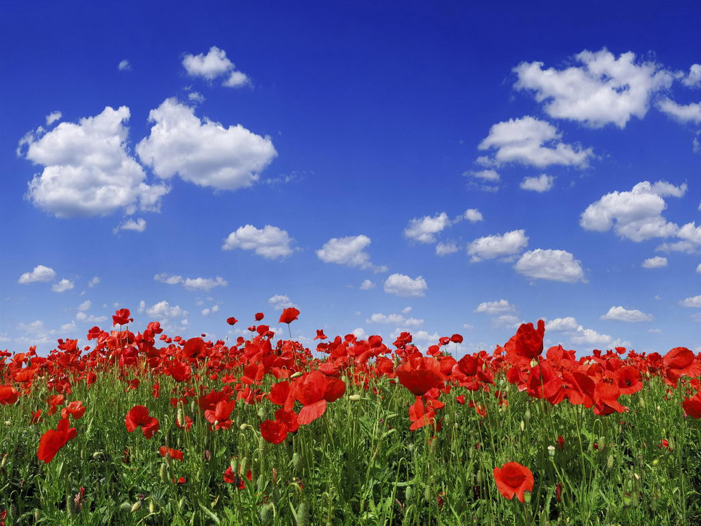 Download Natural Rose Flowers Wallpaper Gallery - Poppy Field Blue Sky , HD Wallpaper & Backgrounds