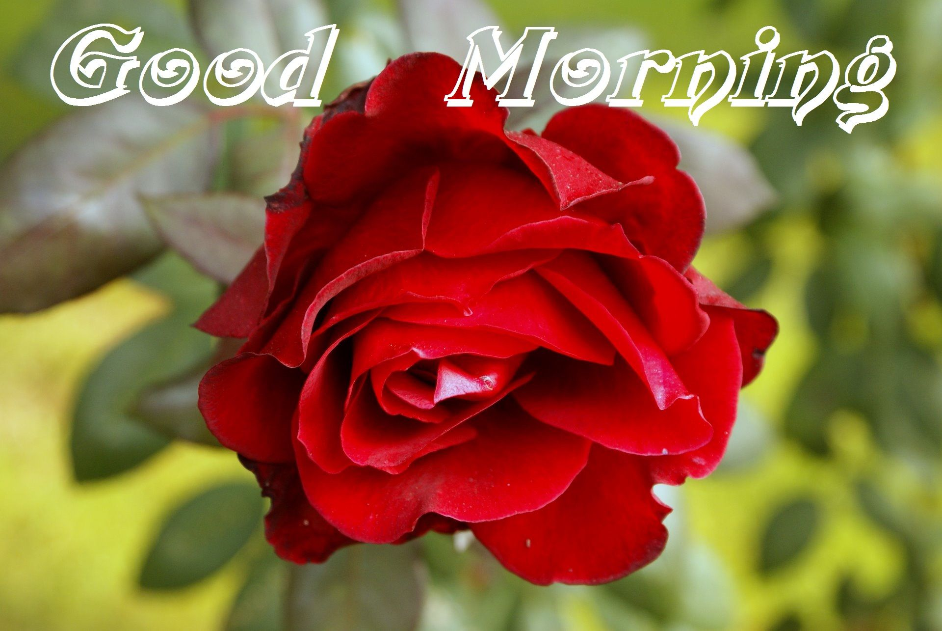 Good Morning Red Rose Cards For My Love, Friends - Best Good Morning Rose , HD Wallpaper & Backgrounds