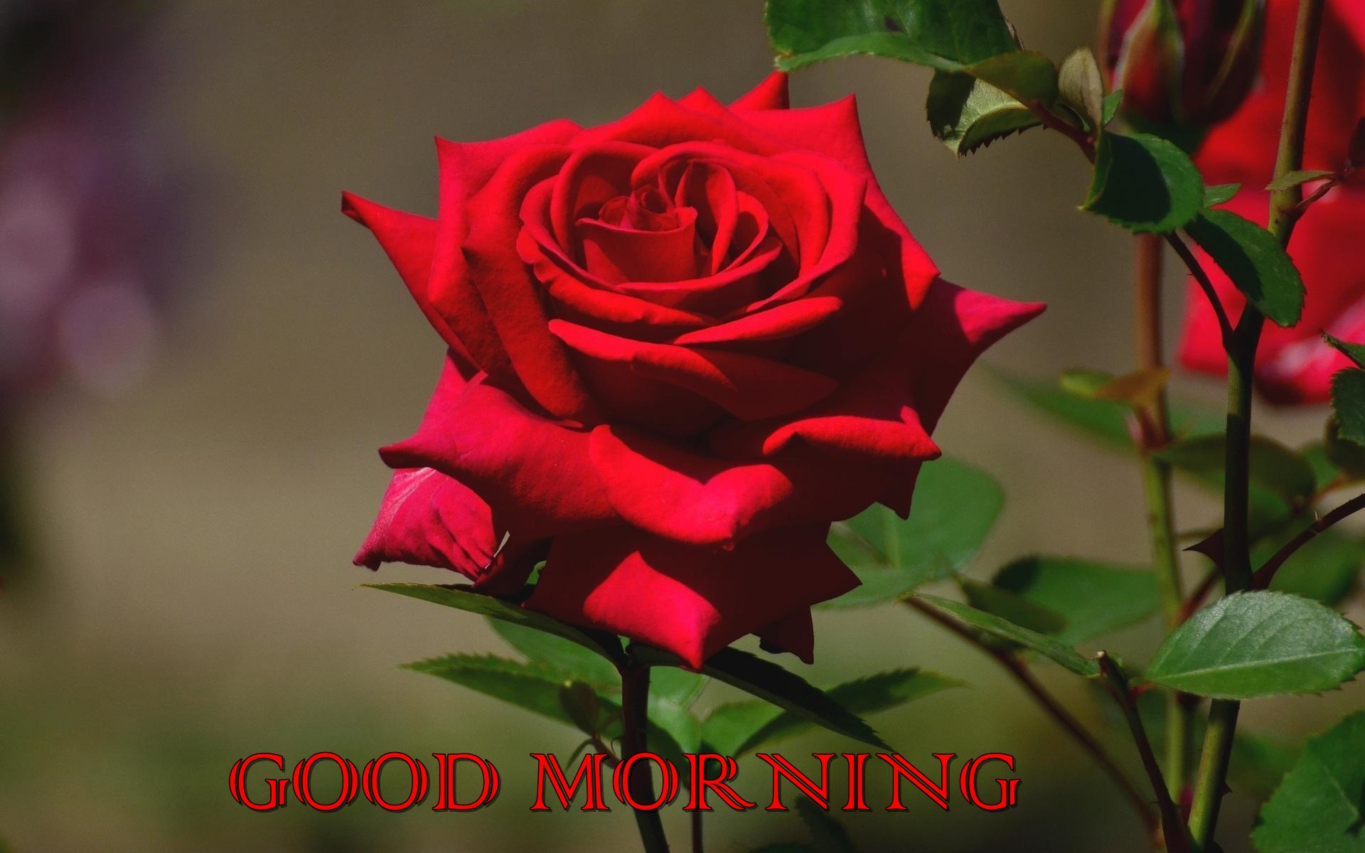 Good Morning Red Rose Quotes Hd Wallpapers - Beautiful Rose Full Hd , HD Wallpaper & Backgrounds