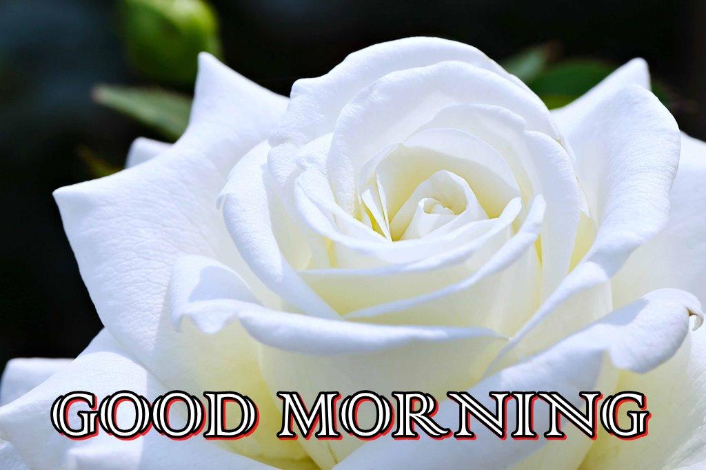 Good Morning White Rose Flower Hd Wallpaper - Good Morning Rose Flower , HD Wallpaper & Backgrounds