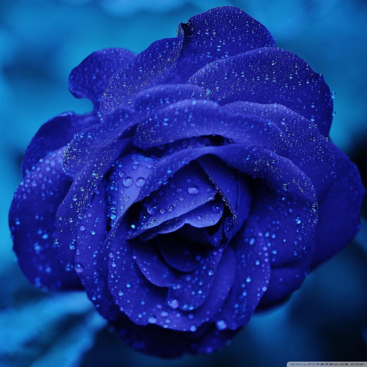 Tablet 1 Rain On Blue Flower 1743805 Hd Wallpaper