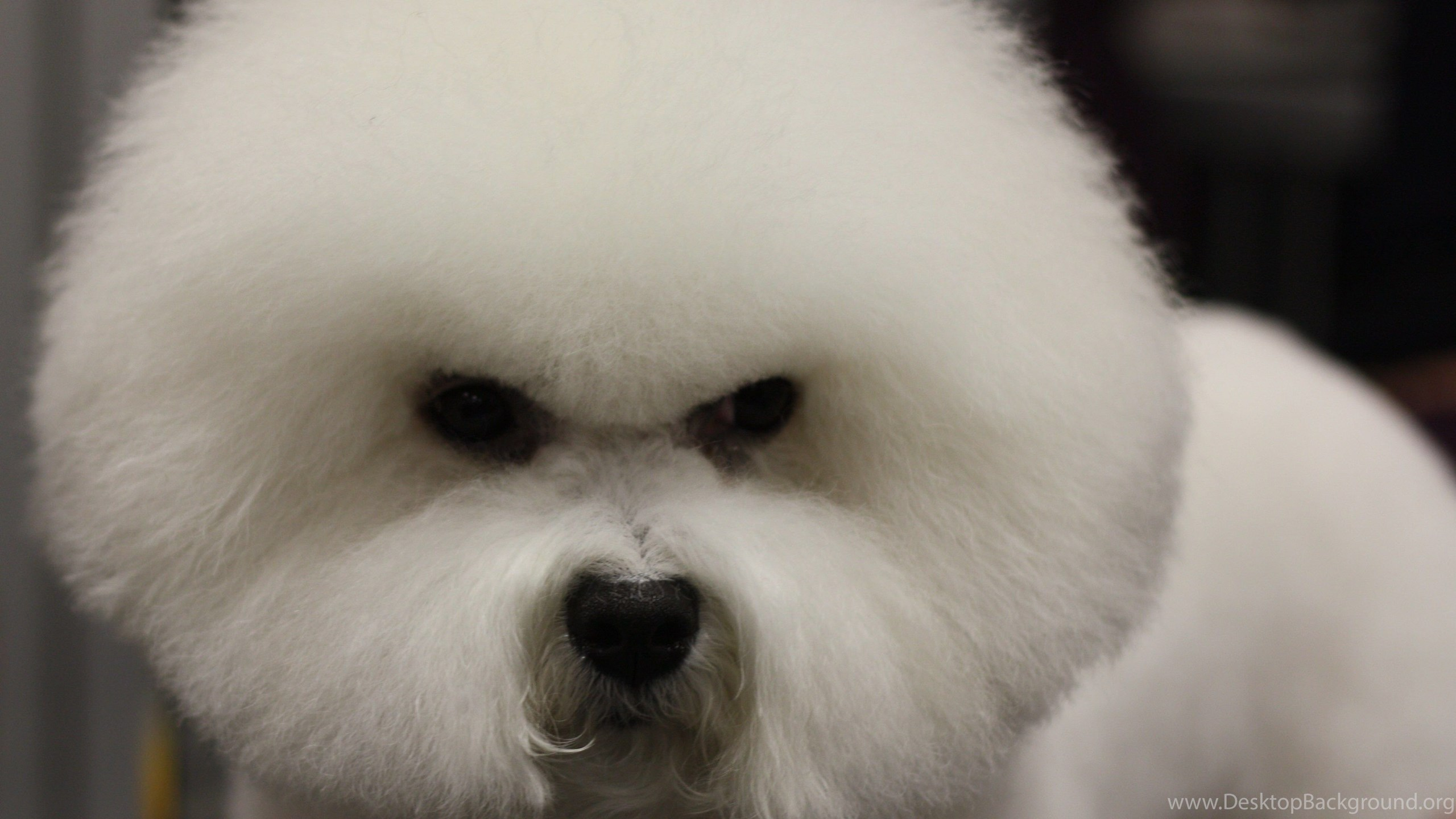 Popular Bichon Frise Puppies Desktop 1750319 Hd Wallpaper Backgrounds Download
