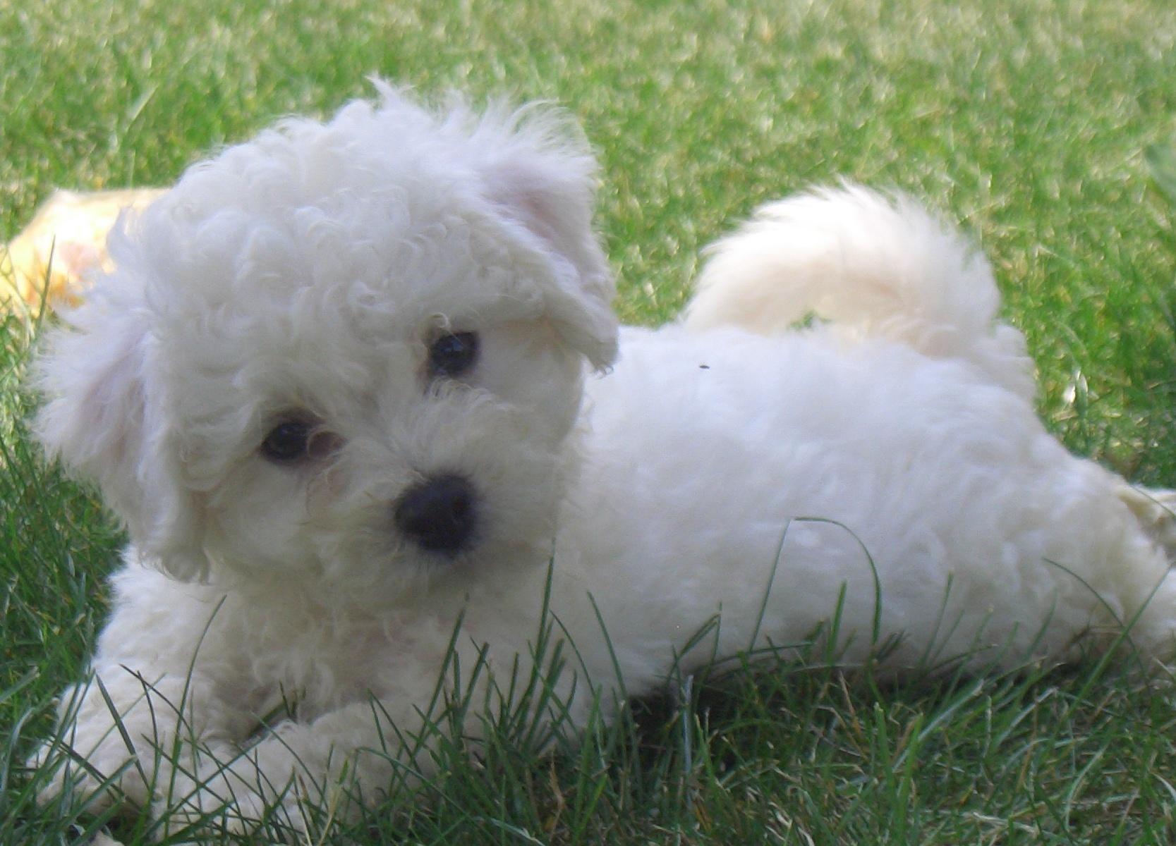 Bishon Frise Puppy Miniature Bichon Frise 1750352 Hd Wallpaper Backgrounds Download