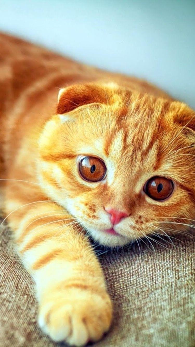 Hd Iphone Wallpaper Orange Kitty Scottish Fold