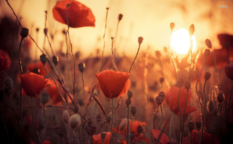 Poppies In The Sunset Hd Wallpaper - Facebook Poppy Flower Cover , HD Wallpaper & Backgrounds