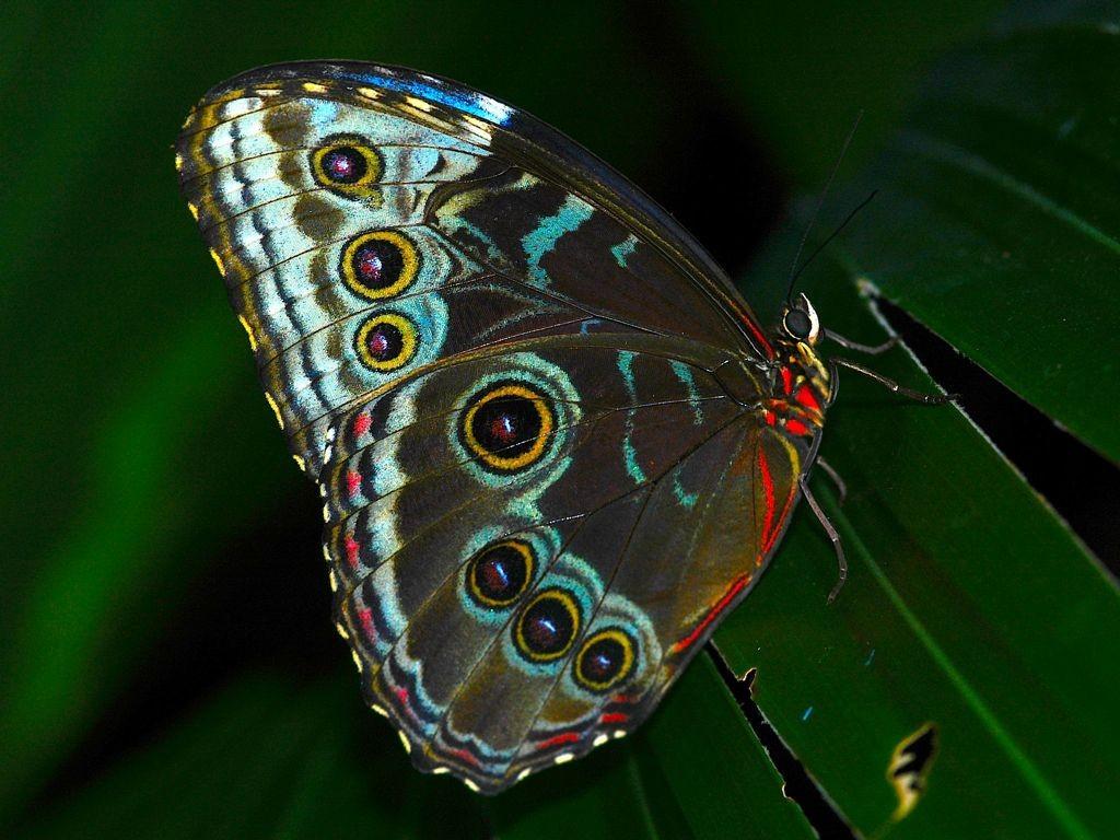 Beautiful Butterfly Download Hd Wallpaper - Brush-footed Butterfly , HD Wallpaper & Backgrounds