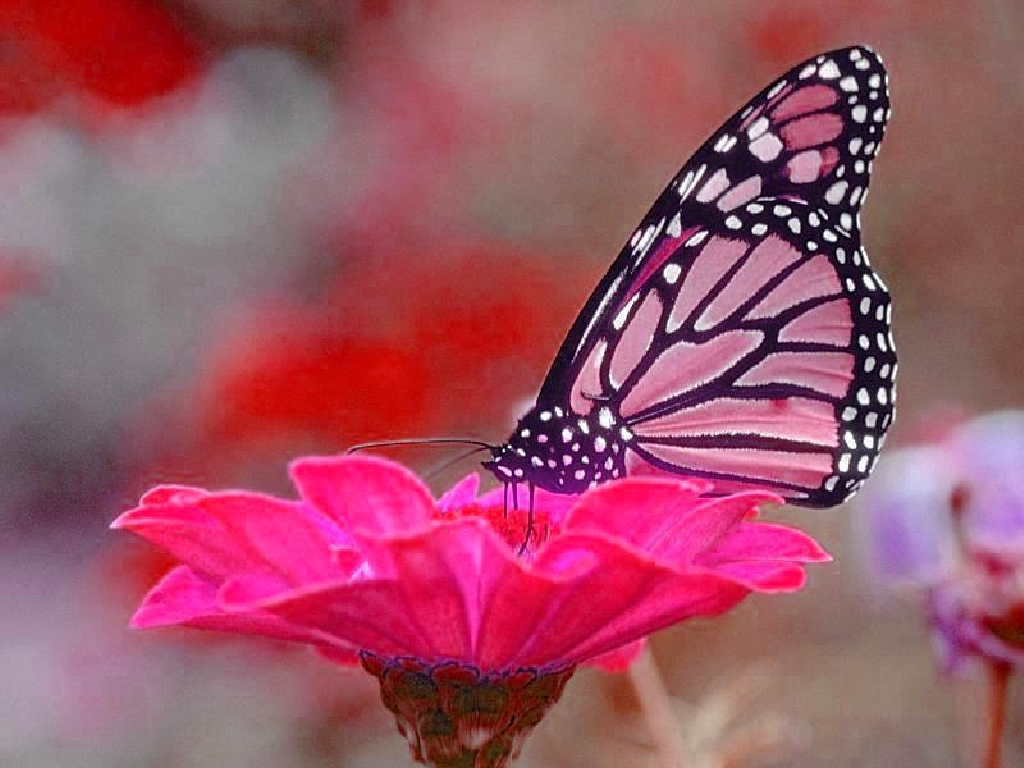 Download Butterfly Free Wallpaper Full Hd Wallpapers - Pink Butterfly On Flower , HD Wallpaper & Backgrounds