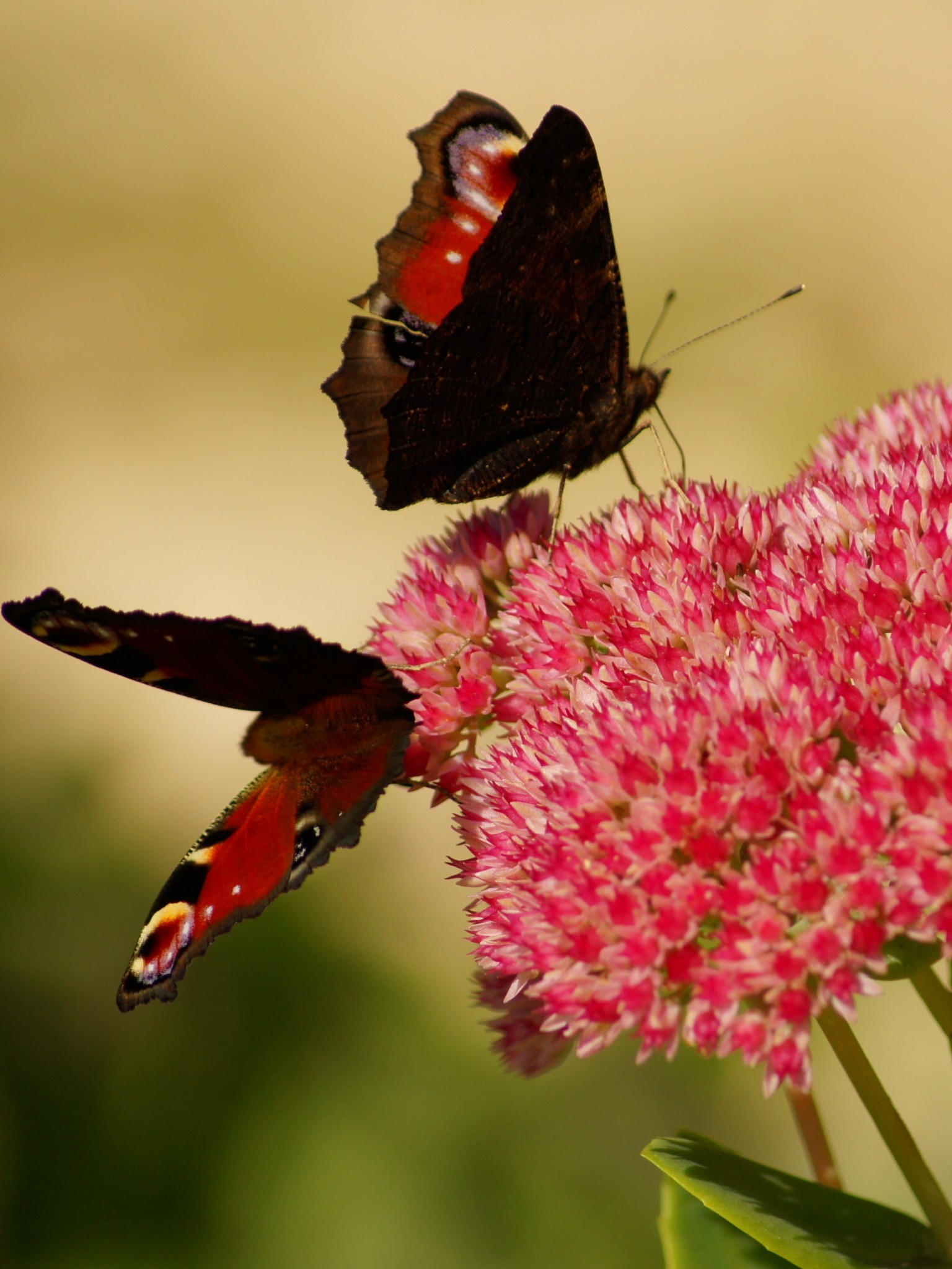 Download Pink Butterfly Hd Wallpaper, Pink Butterfly - Kupu Kupu Pasangan , HD Wallpaper & Backgrounds