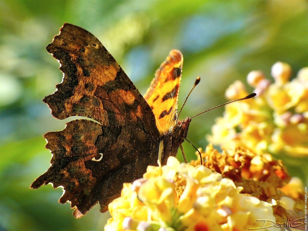 Lacewing Black Brown Butterfly Flowers Yellow Beautiful - Papillon Robert Le Diable , HD Wallpaper & Backgrounds