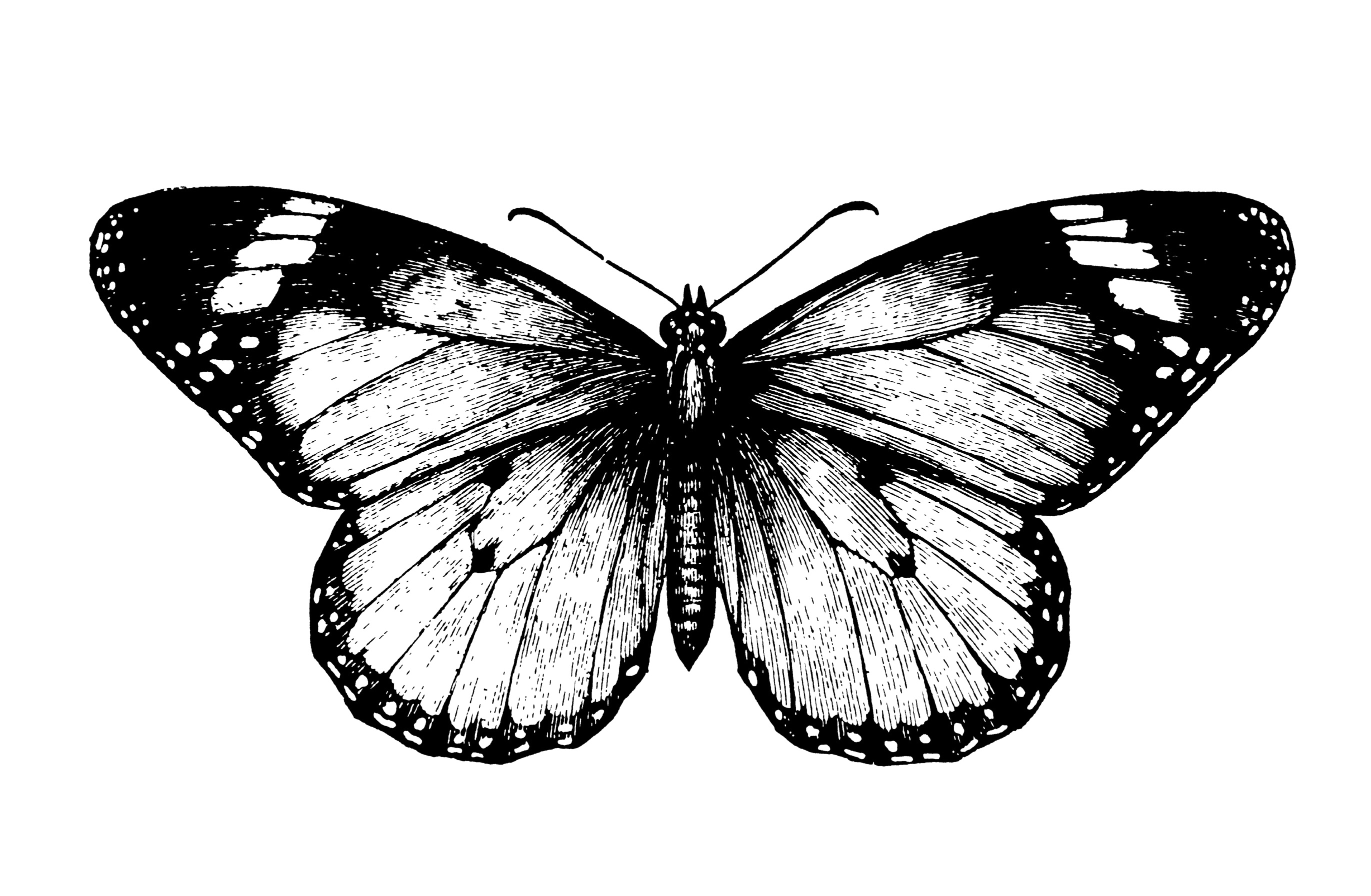 Black N White Butterfly Black And White Butterfly 1853907 Hd Wallpaper Backgrounds Download