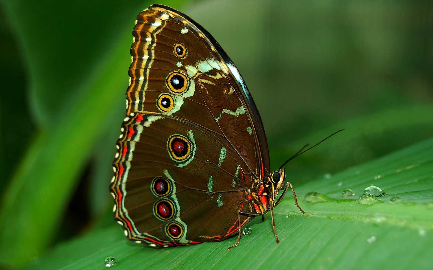Black Butterfly Wallpaper - Butterfly Wallpaper For Desktop , HD Wallpaper & Backgrounds