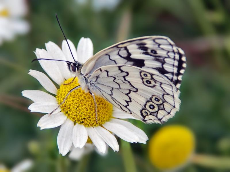 White Butterfly Black Flowers Nature Hd Wallpaper Flowers