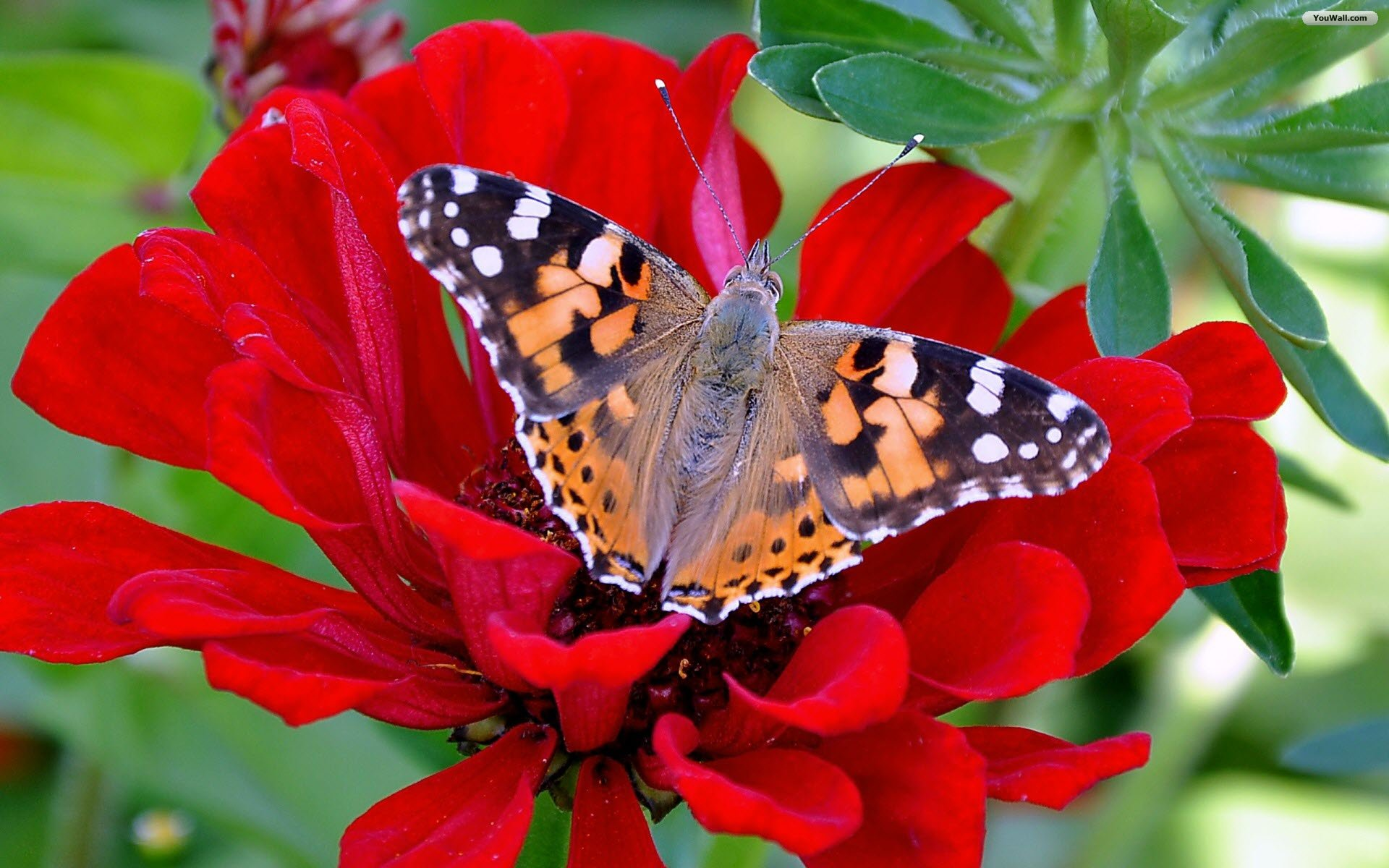 Red Butterfly And Flower Wallpaper - Nice Gulab , HD Wallpaper & Backgrounds