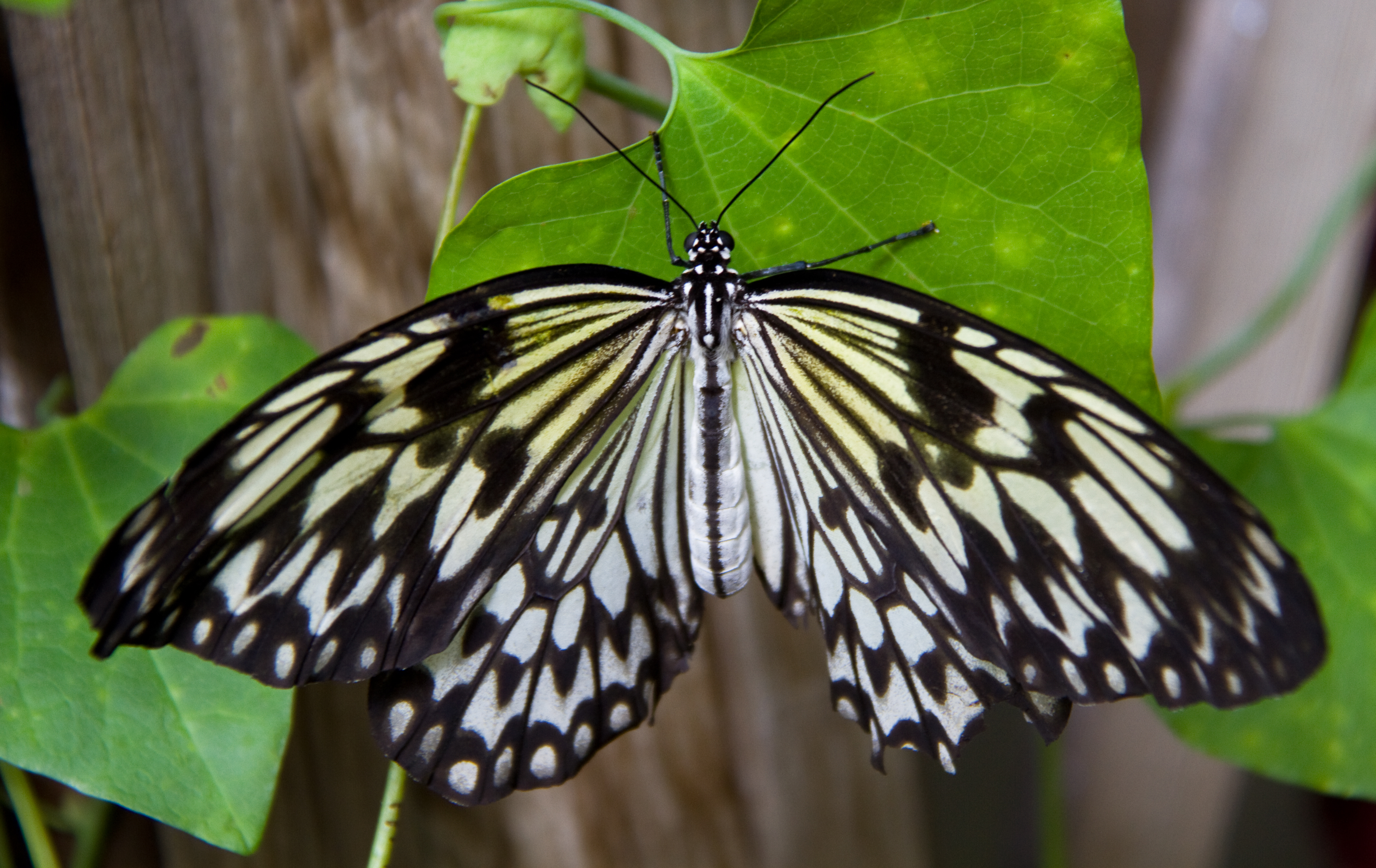 Black And White Butterfly Brush Footed Butterfly 1854303 Hd Wallpaper Backgrounds Download