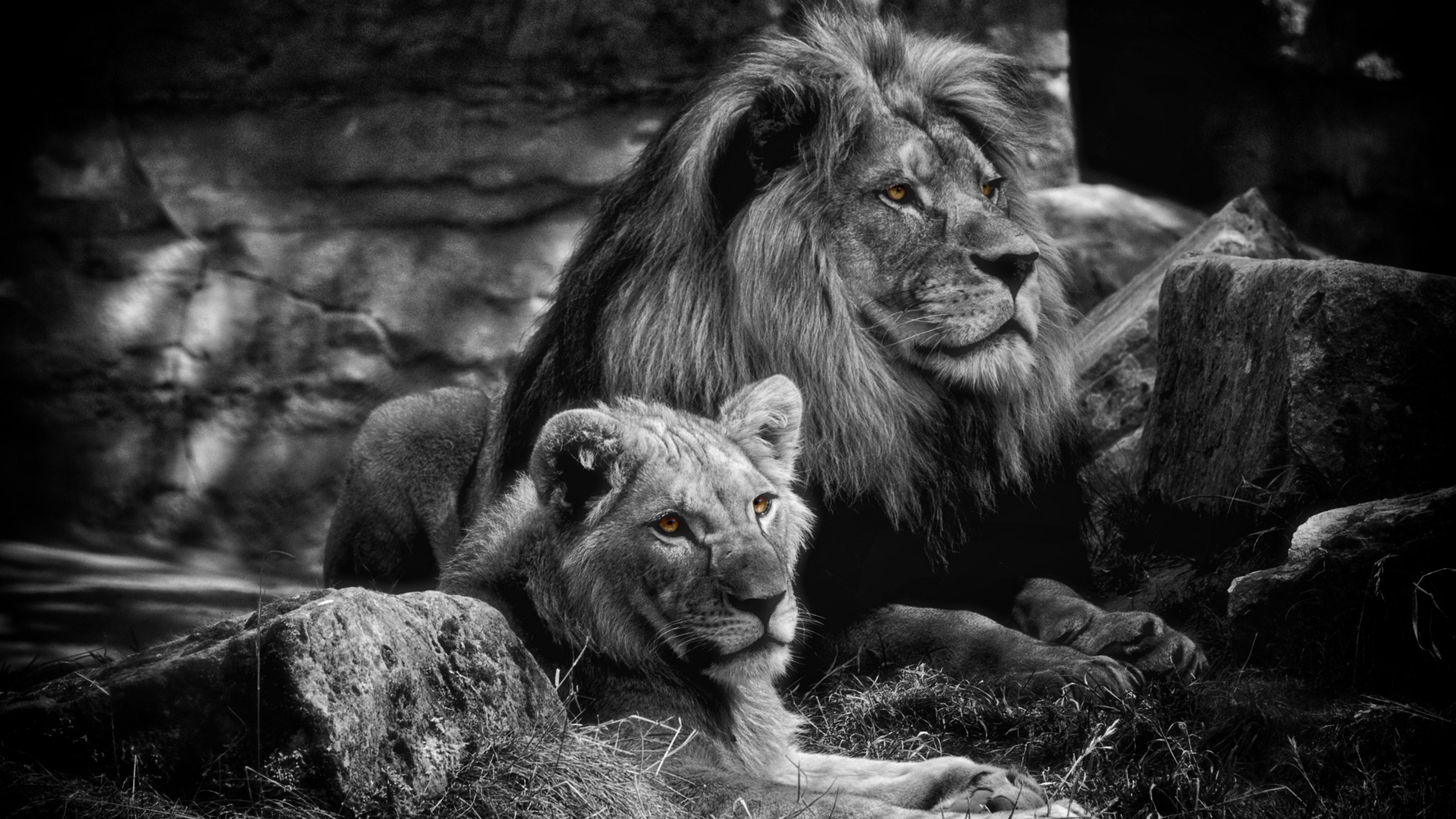 Löwen Wallpaper - Male And Female Lion Black And White , HD Wallpaper & Backgrounds