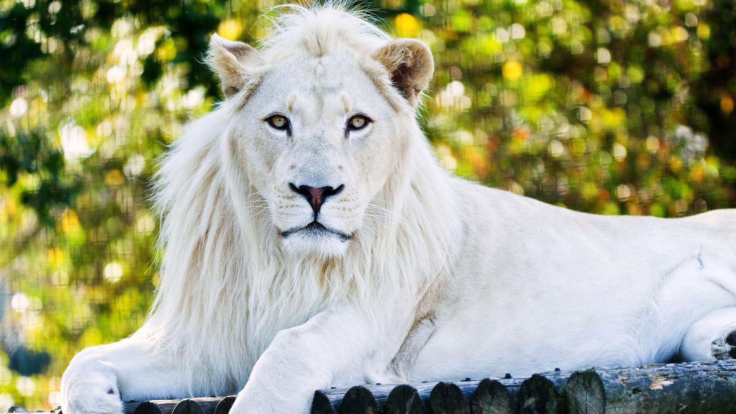 White Lion Sd - 1080p White Lion Hd , HD Wallpaper & Backgrounds