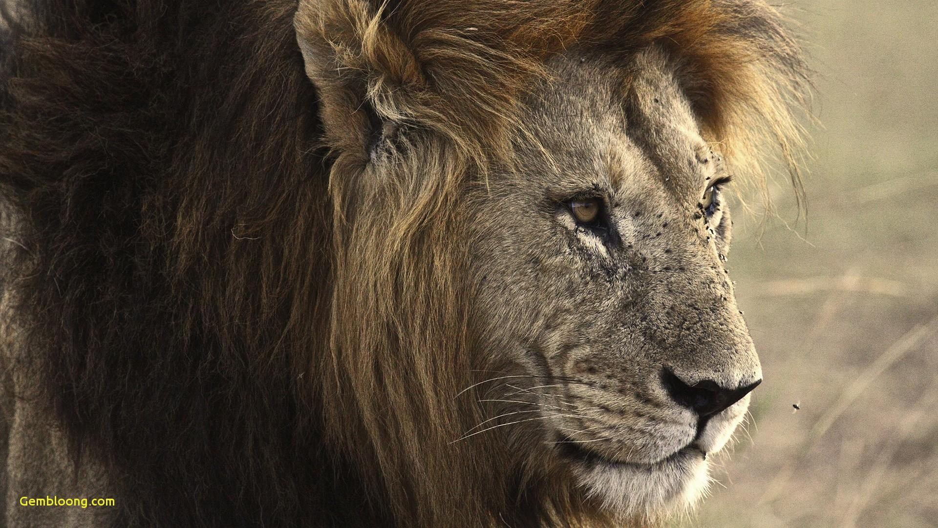 Angry - Good Morning Lion Quotes , HD Wallpaper & Backgrounds