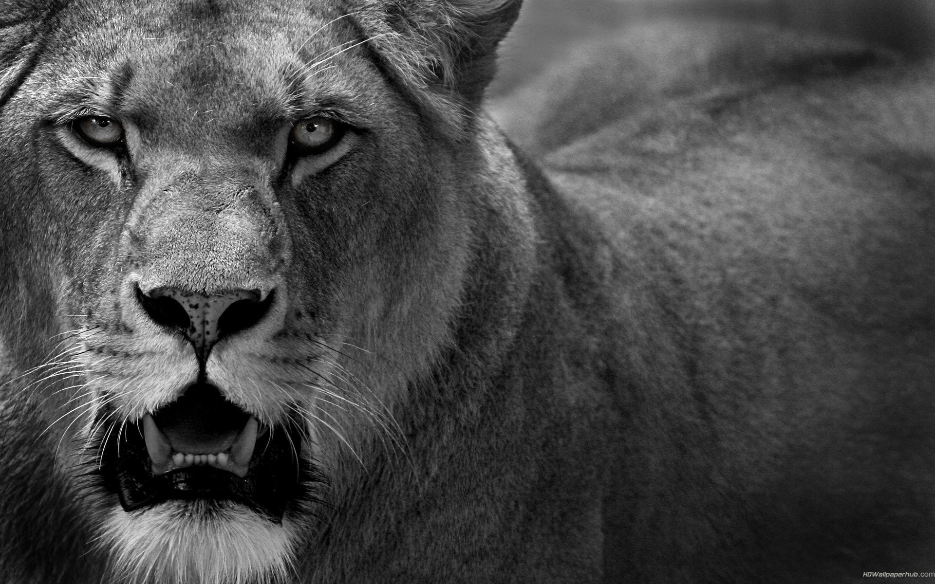 Angry Lions Hd Wallpaper - Lions Angry , HD Wallpaper & Backgrounds