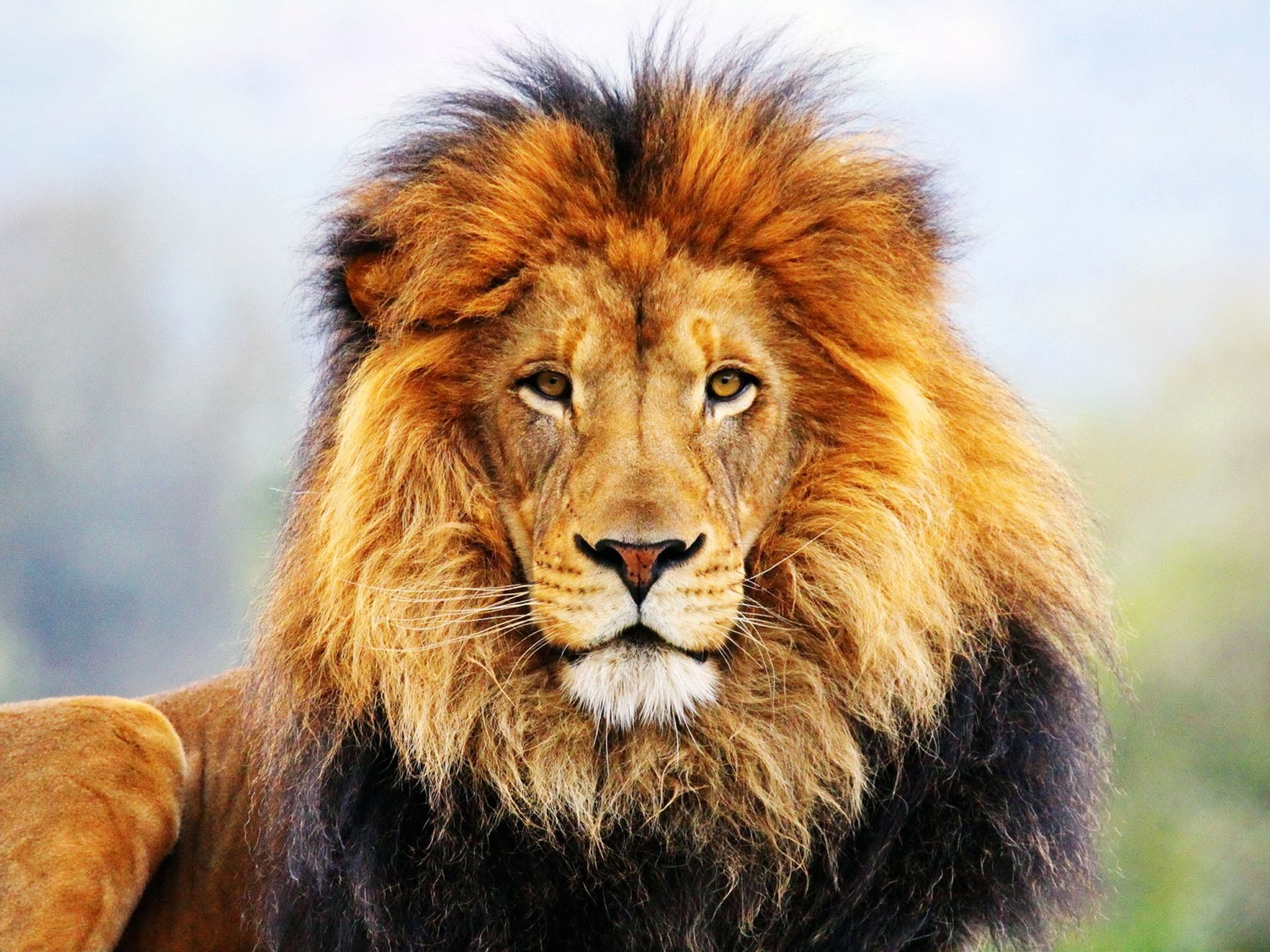 Best Animals Hd <b>wallpapers</b> For - Lion Close Up Face , HD Wallpaper & Backgrounds